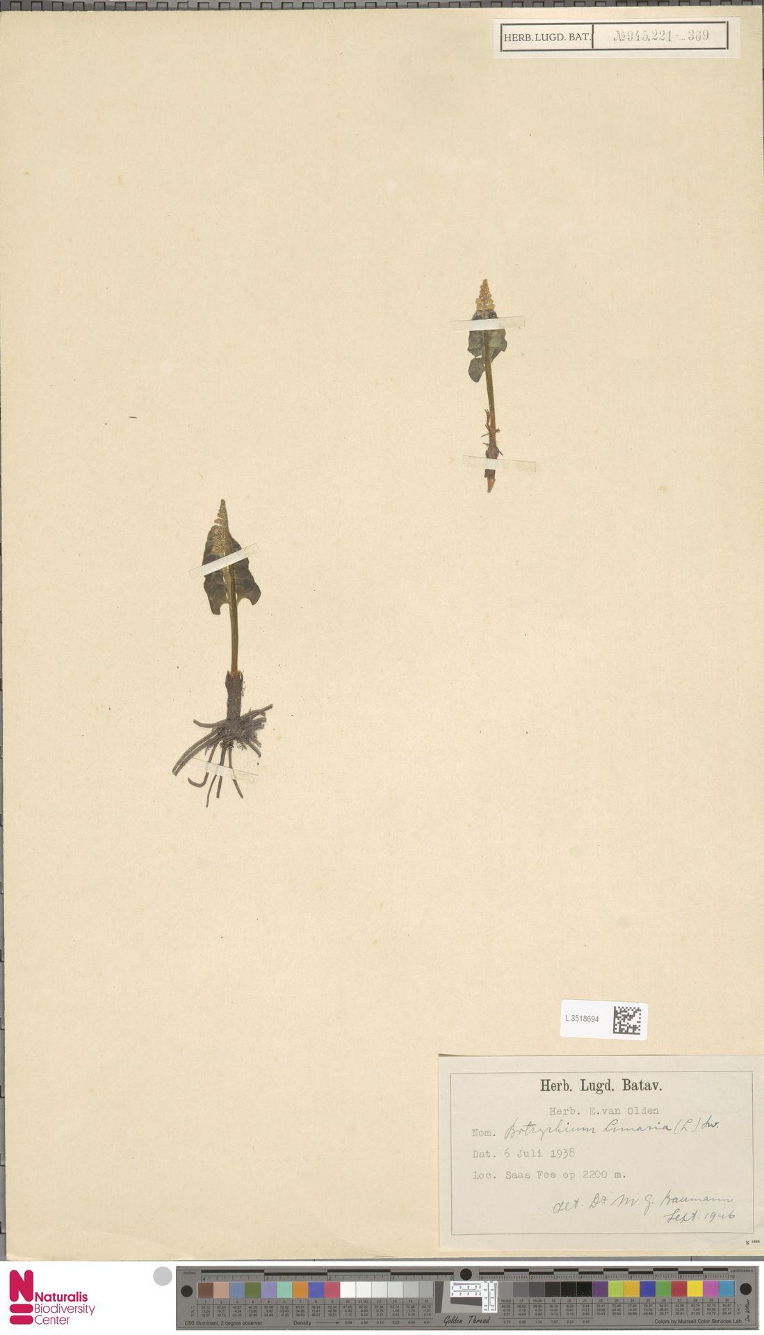 L.3518694 | Botrychium lunaria (L.) Sw.