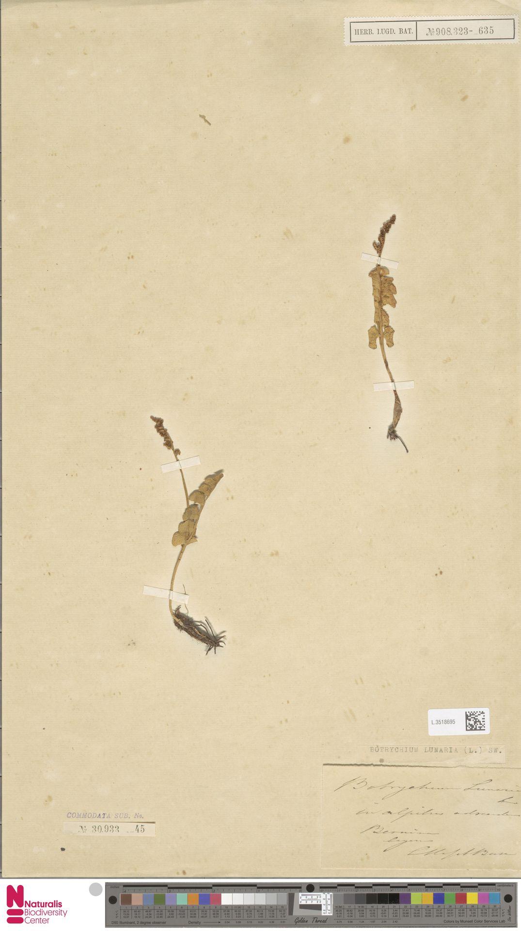 L.3518695 | Botrychium lunaria (L.) Sw.