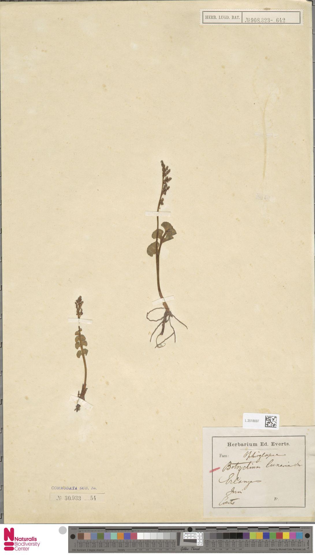 L.3518697 | Botrychium lunaria (L.) Sw.