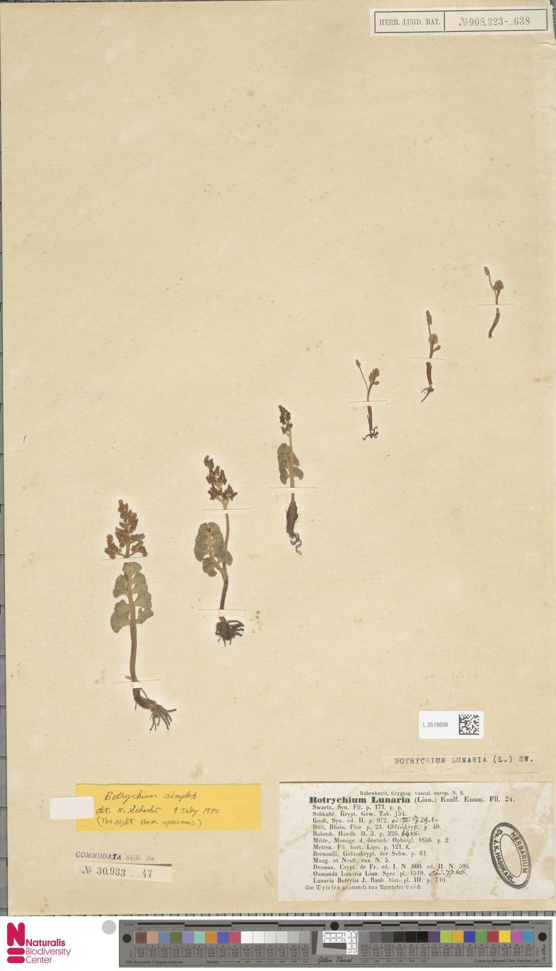 L.3518698 | Botrychium lunaria (L.) Sw.