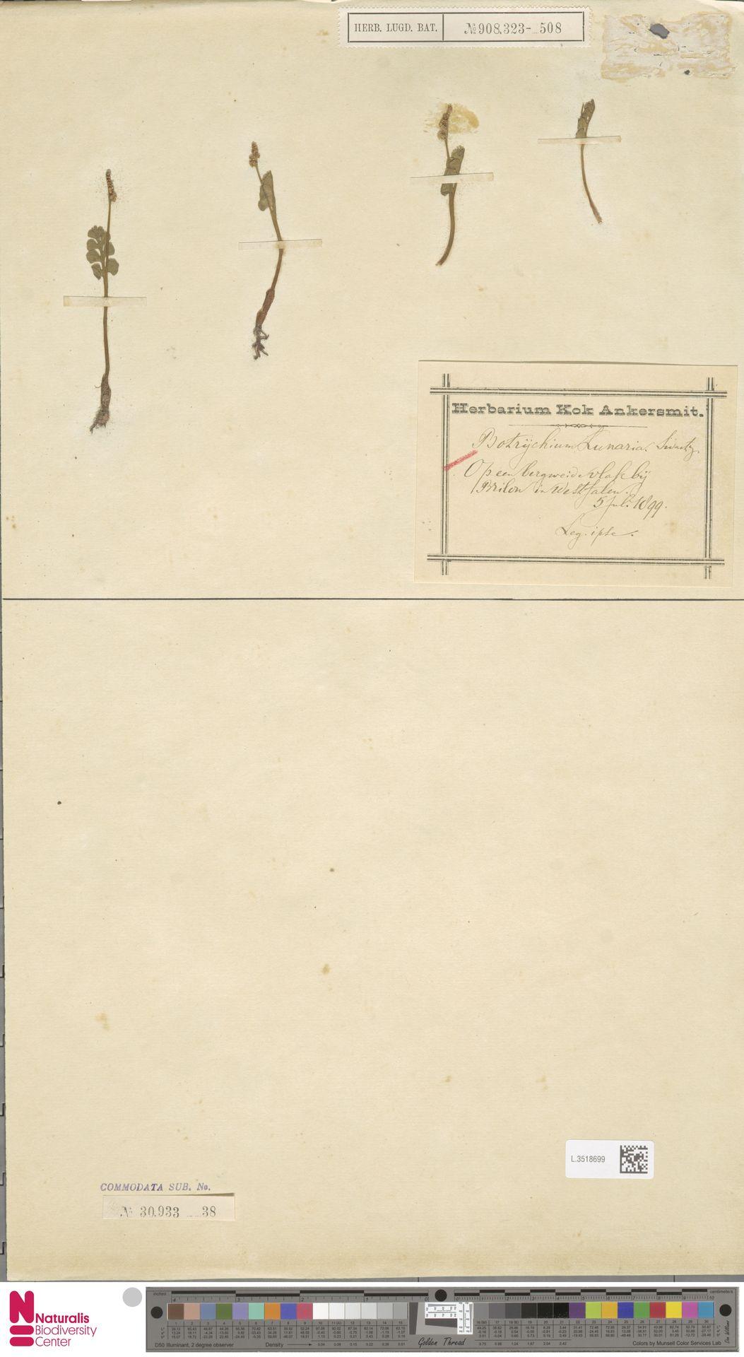 L.3518699 | Botrychium lunaria (L.) Sw.