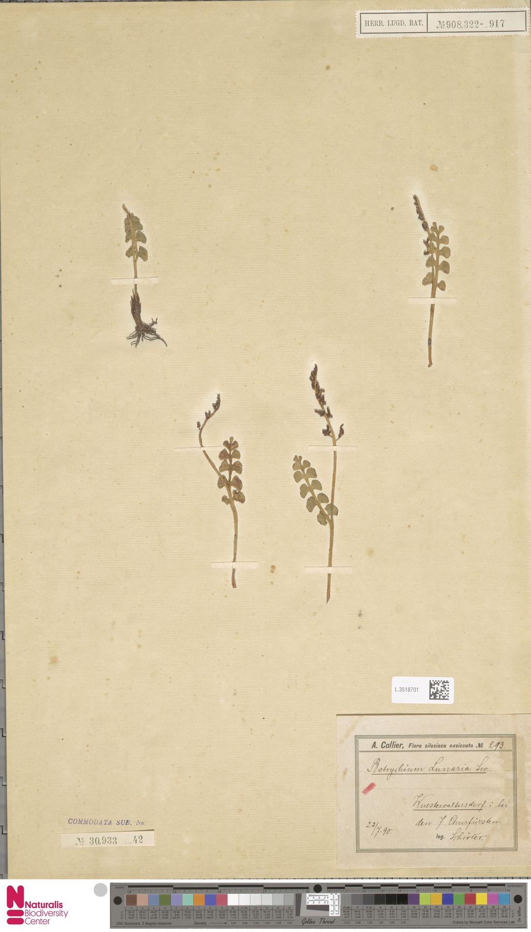L.3518701   Botrychium lunaria (L.) Sw.