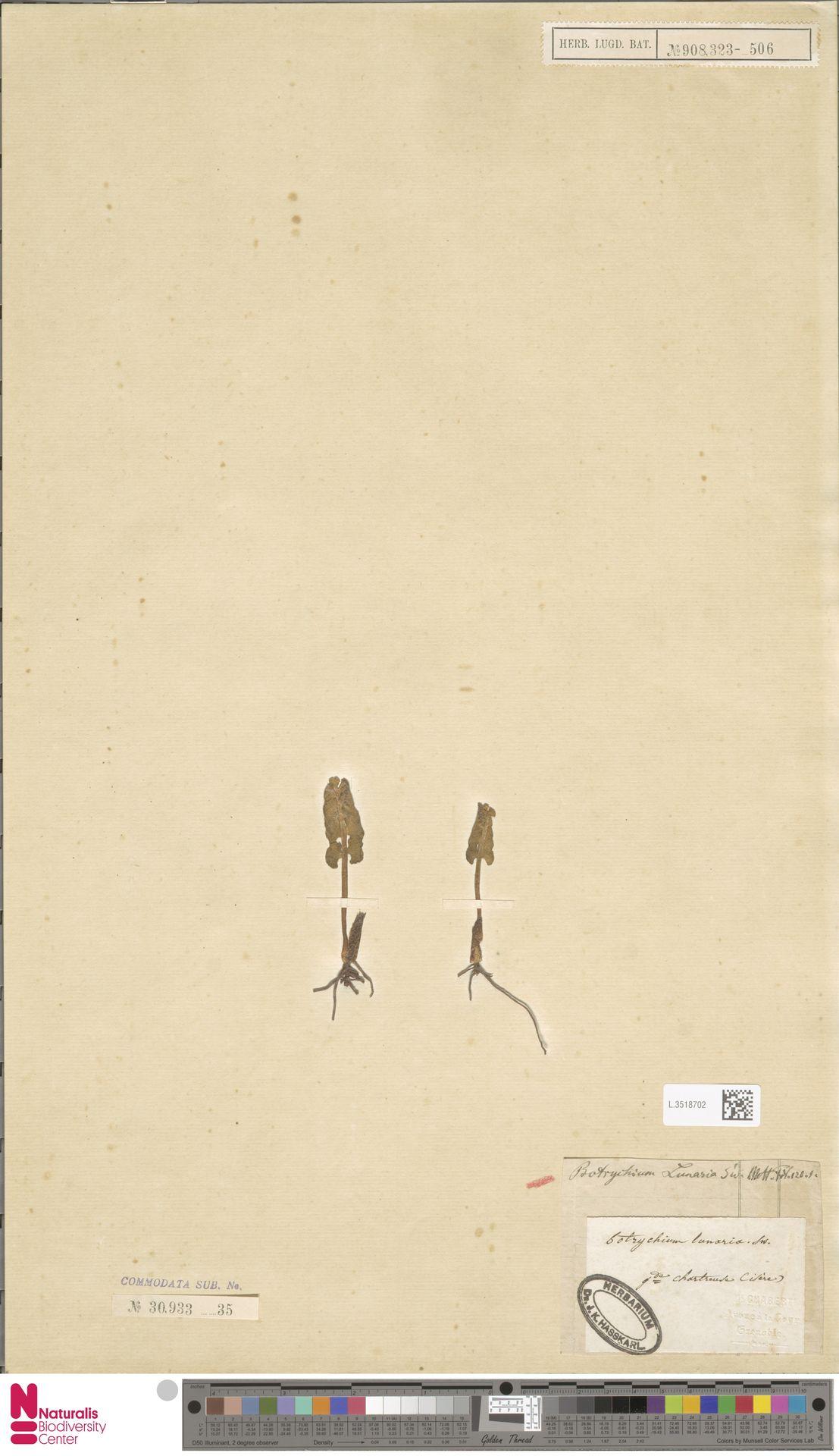L.3518702 | Botrychium lunaria (L.) Sw.