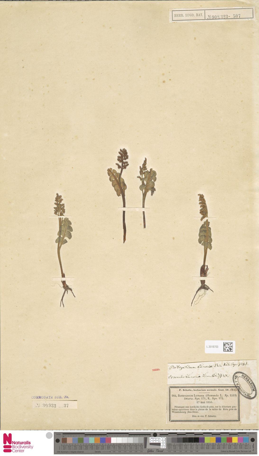 L.3518703 | Botrychium lunaria (L.) Sw.