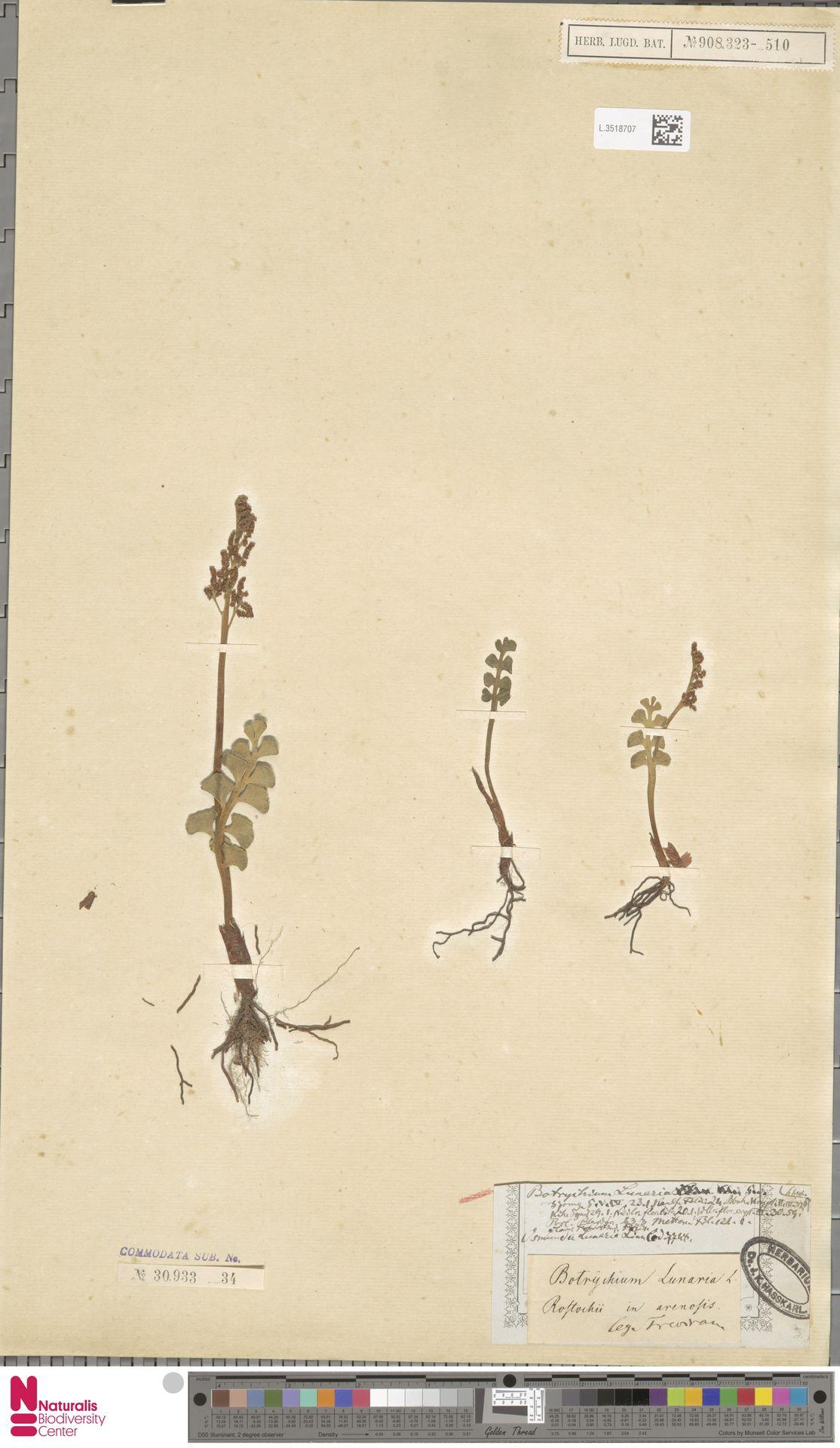 L.3518707 | Botrychium lunaria (L.) Sw.