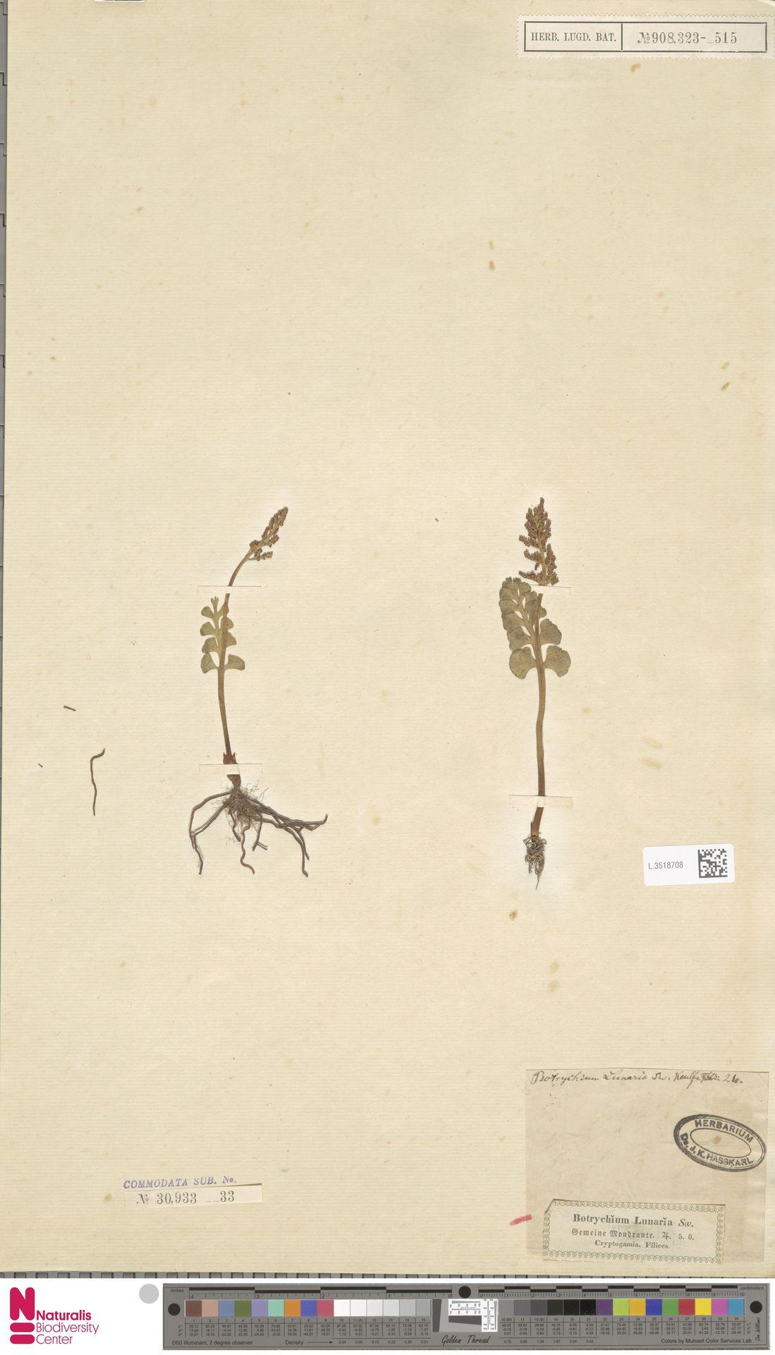 L.3518708 | Botrychium lunaria (L.) Sw.