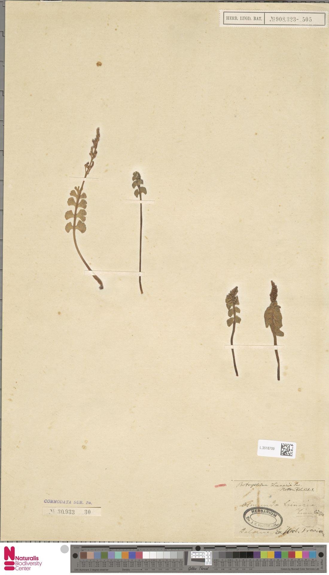 L.3518709 | Botrychium lunaria (L.) Sw.