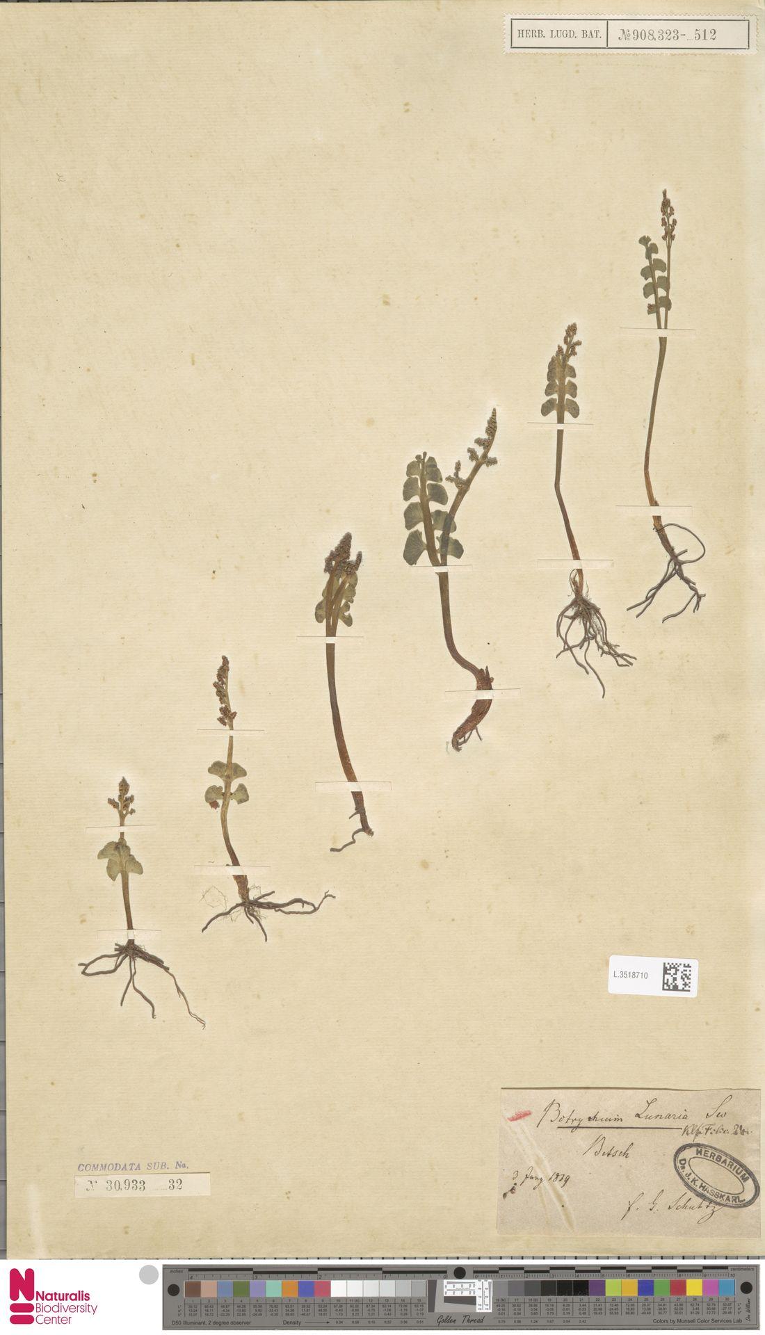 L.3518710 | Botrychium lunaria (L.) Sw.