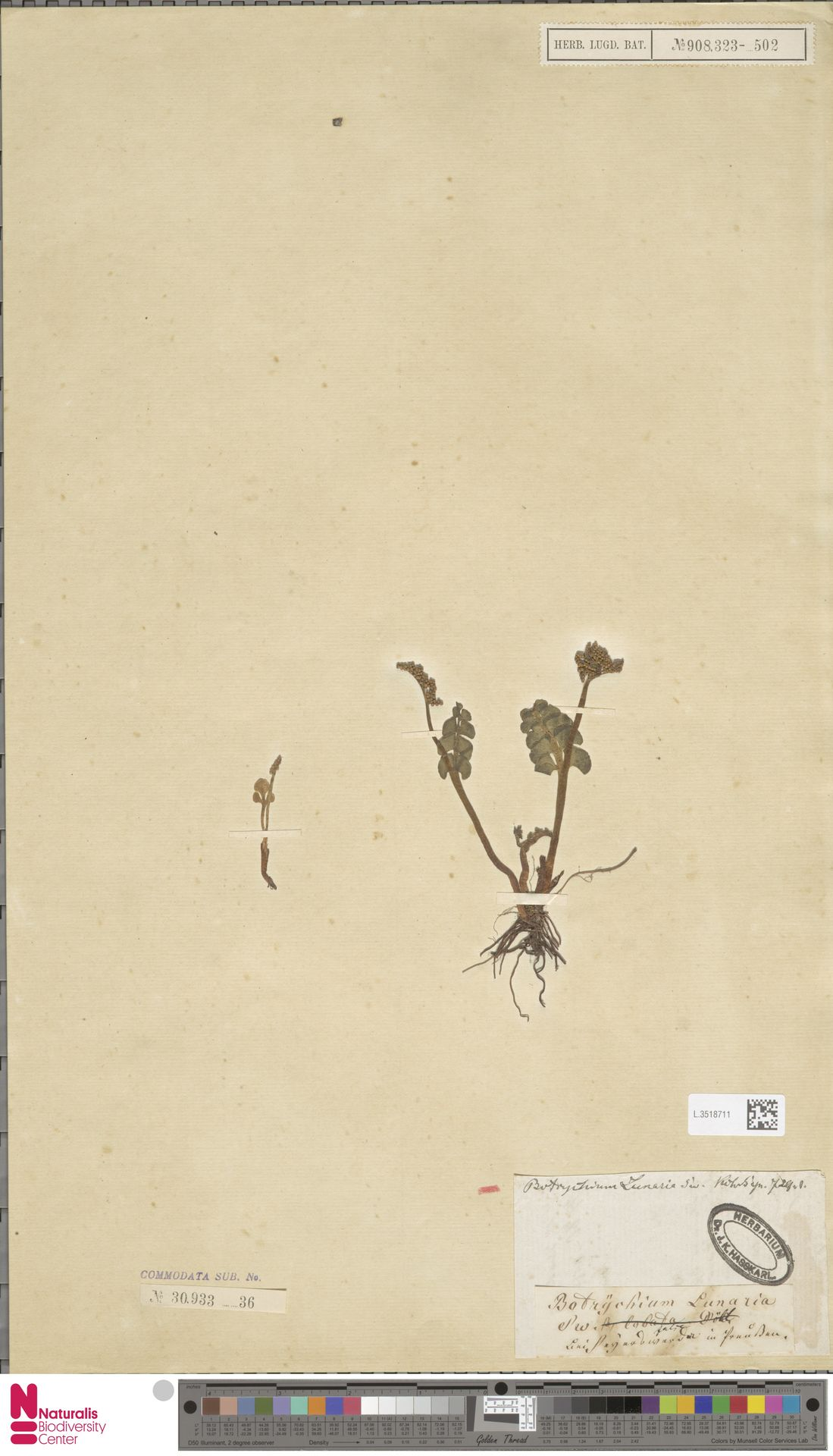 L.3518711 | Botrychium lunaria (L.) Sw.