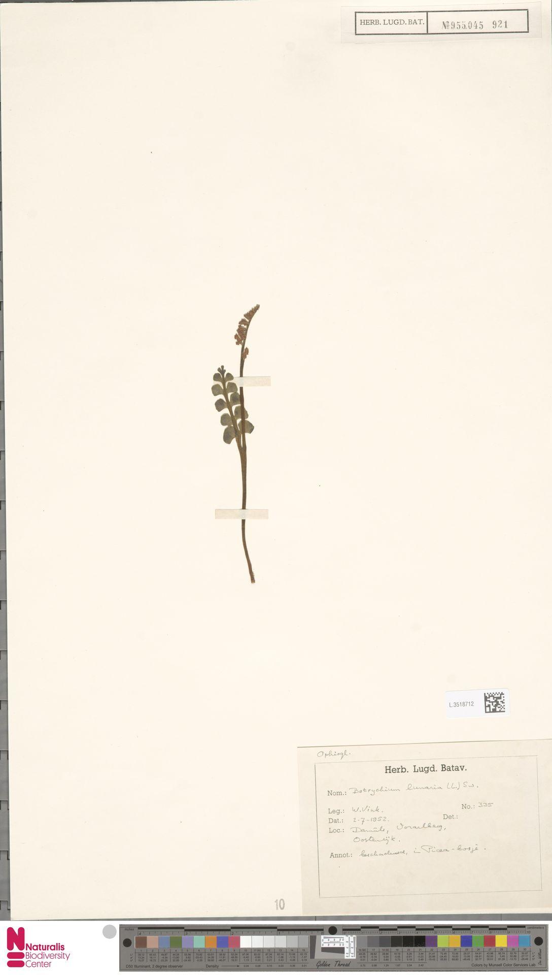 L.3518712 | Botrychium lunaria (L.) Sw.