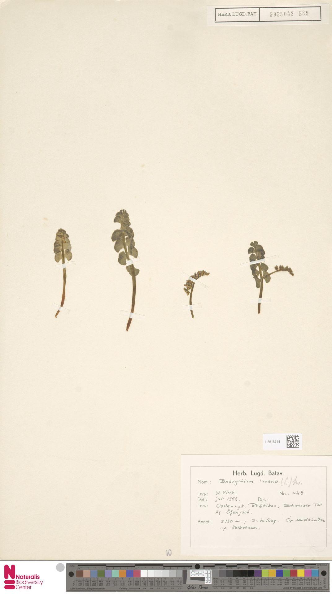 L.3518714 | Botrychium lunaria (L.) Sw.