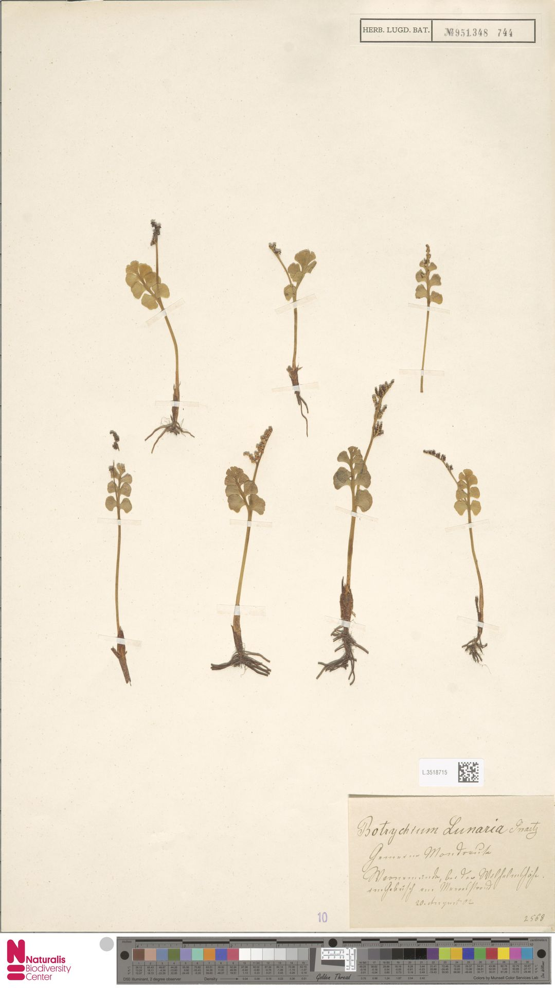 L.3518715 | Botrychium lunaria (L.) Sw.