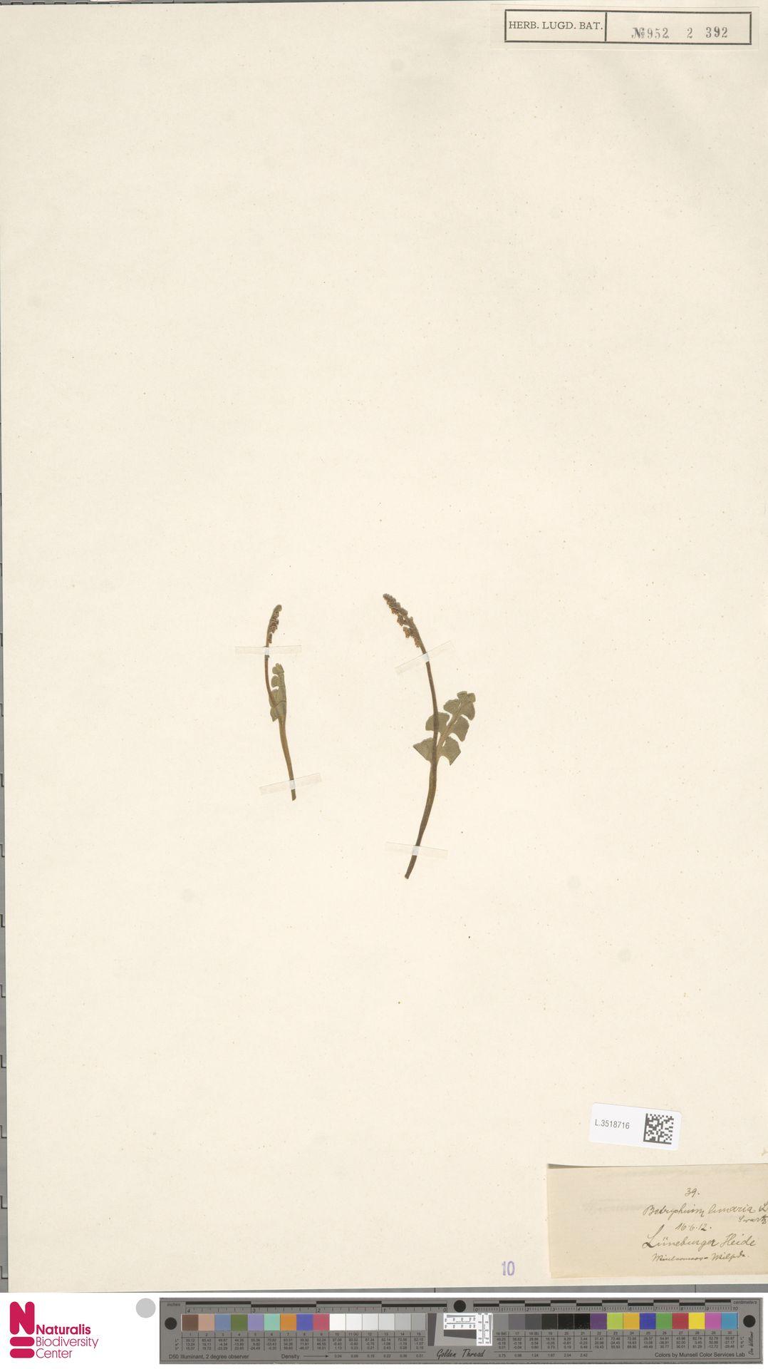 L.3518716 | Botrychium lunaria (L.) Sw.