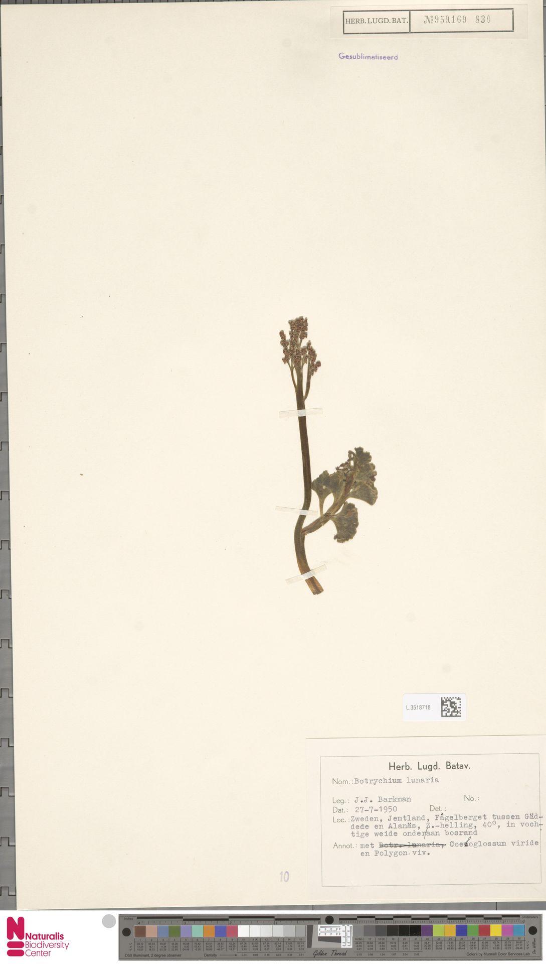 L.3518718 | Botrychium lunaria (L.) Sw.