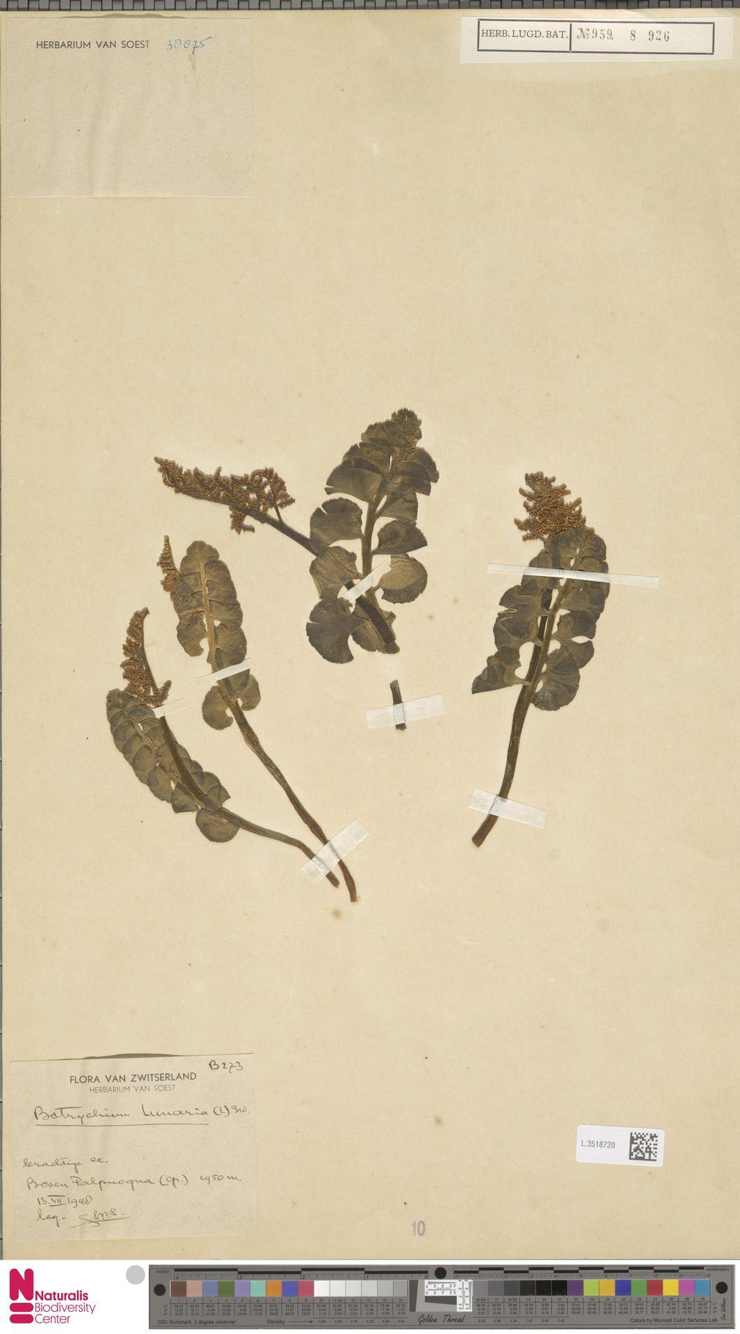 L.3518720 | Botrychium lunaria (L.) Sw.