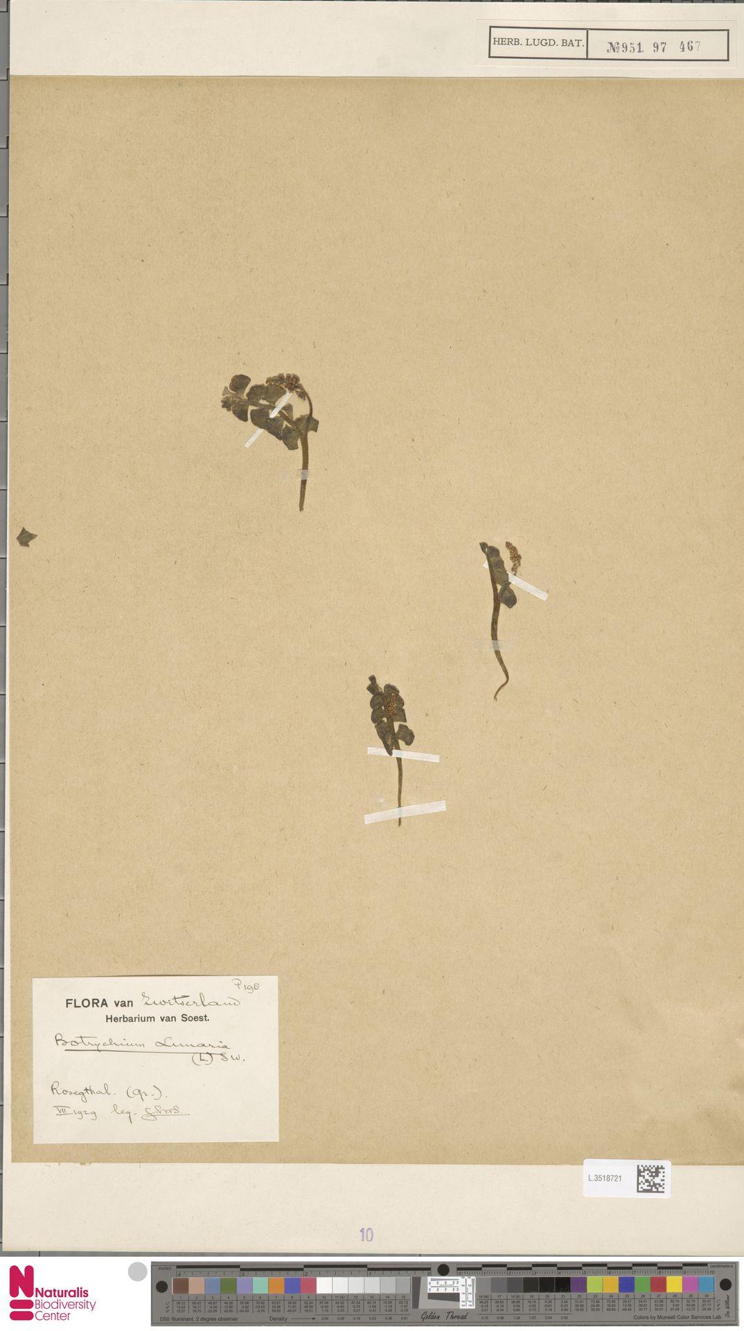 L.3518721 | Botrychium lunaria (L.) Sw.