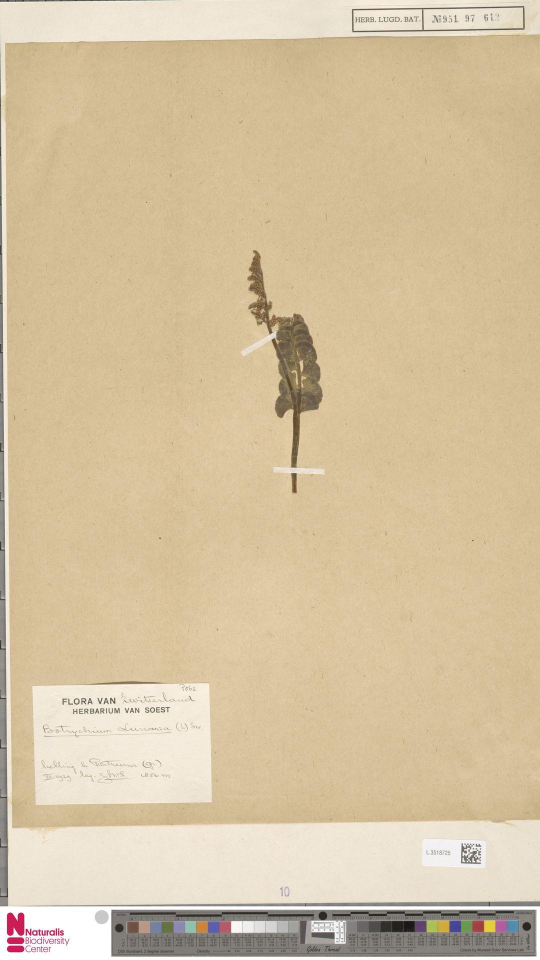 L.3518725   Botrychium lunaria (L.) Sw.