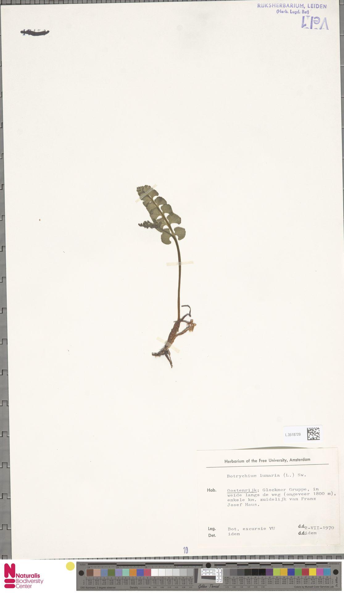 L.3518729 | Botrychium lunaria (L.) Sw.