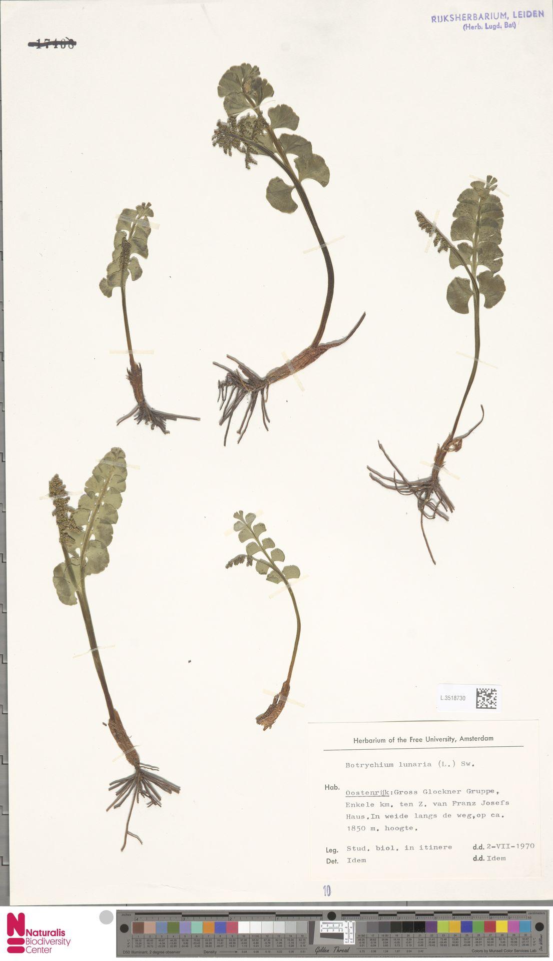 L.3518730 | Botrychium lunaria (L.) Sw.