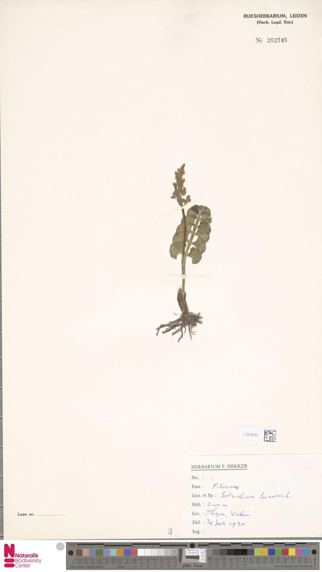 L.3518733 | Botrychium lunaria (L.) Sw.