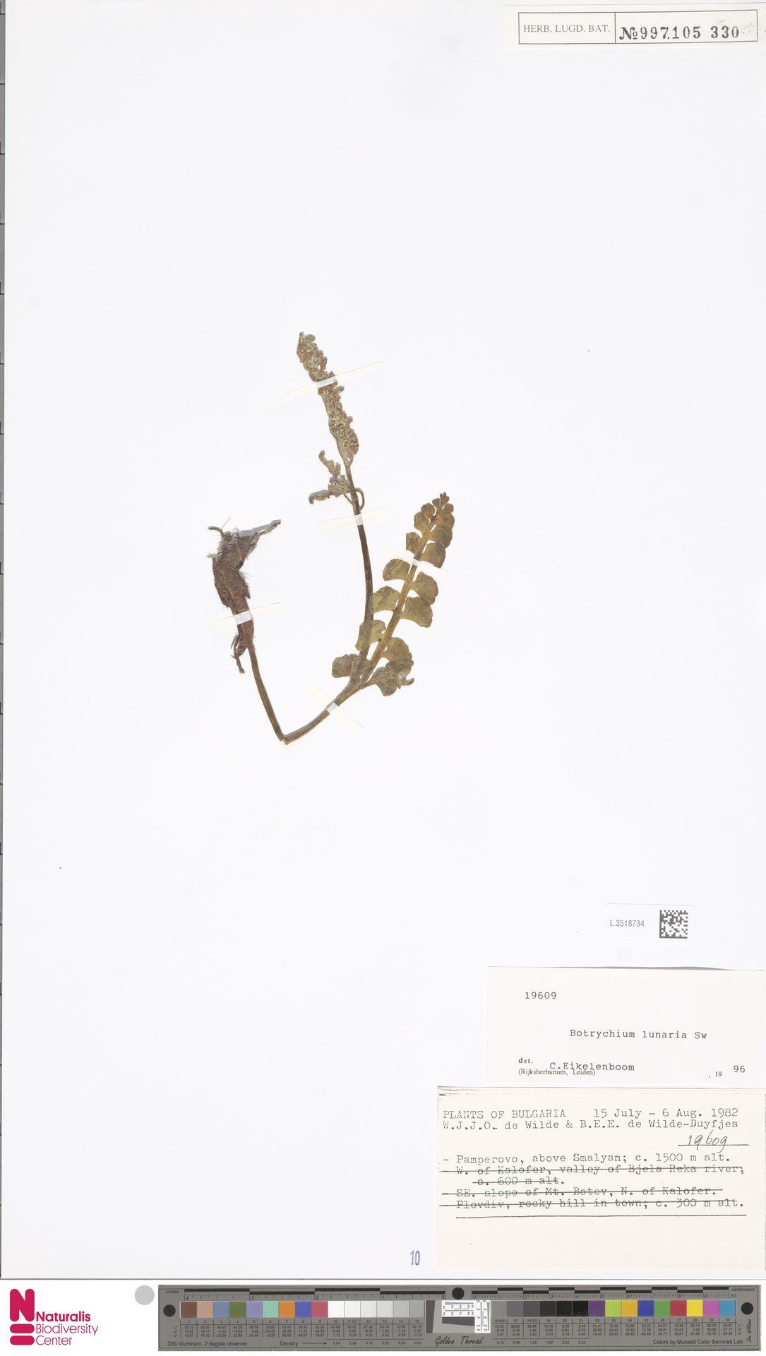 L.3518734   Botrychium lunaria (L.) Sw.