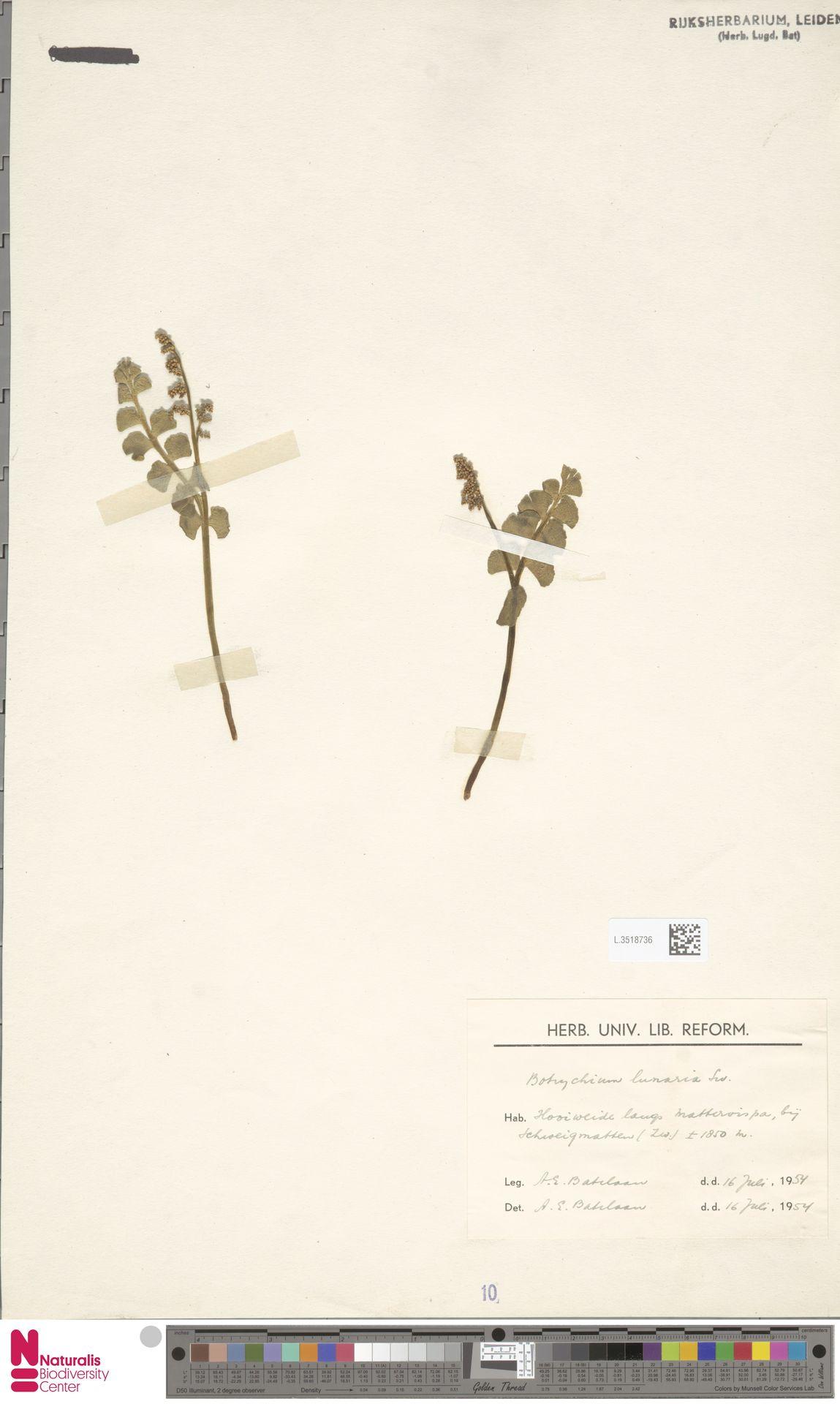 L.3518736   Botrychium lunaria (L.) Sw.