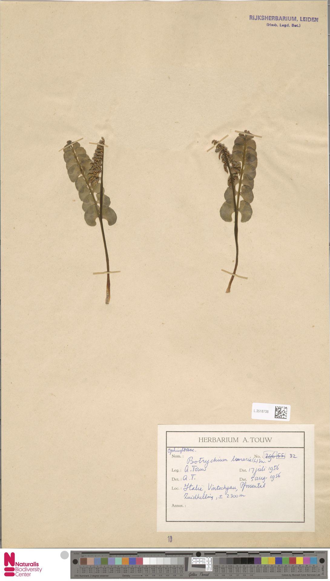 L.3518738 | Botrychium lunaria (L.) Sw.