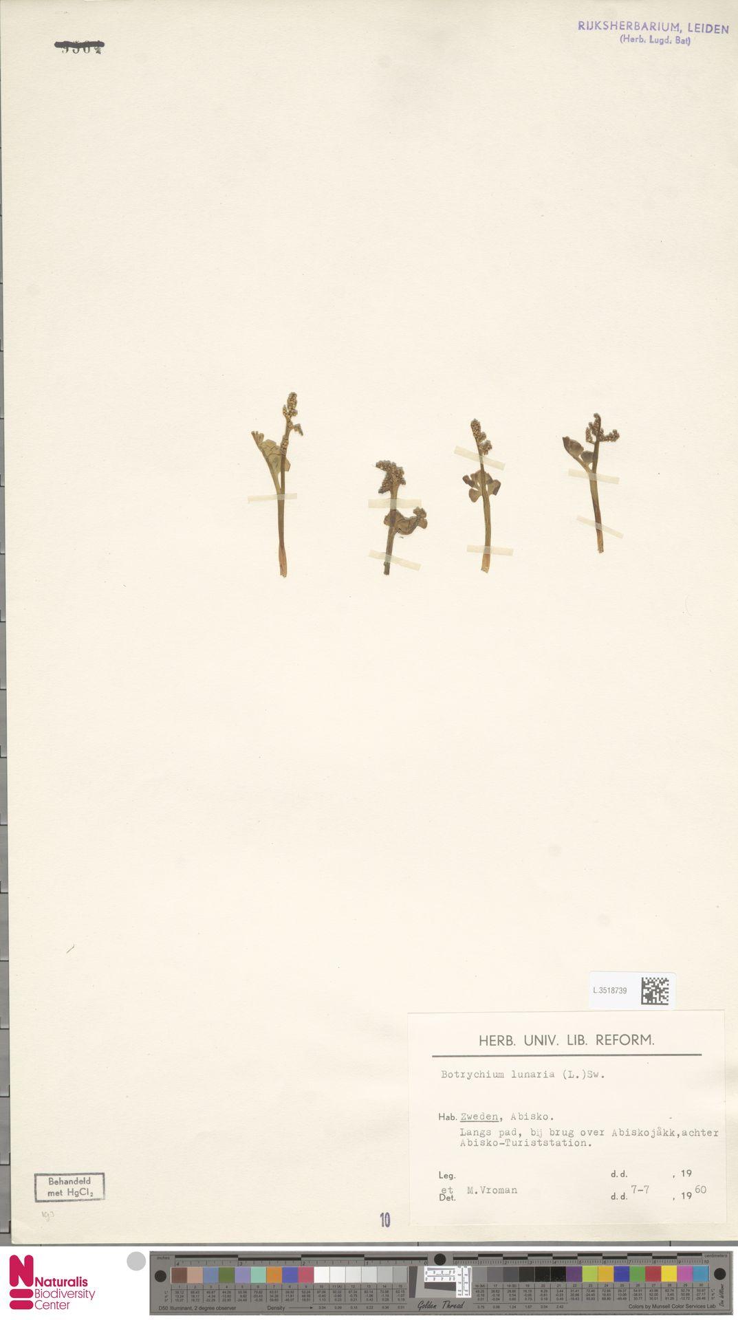 L.3518739 | Botrychium lunaria (L.) Sw.