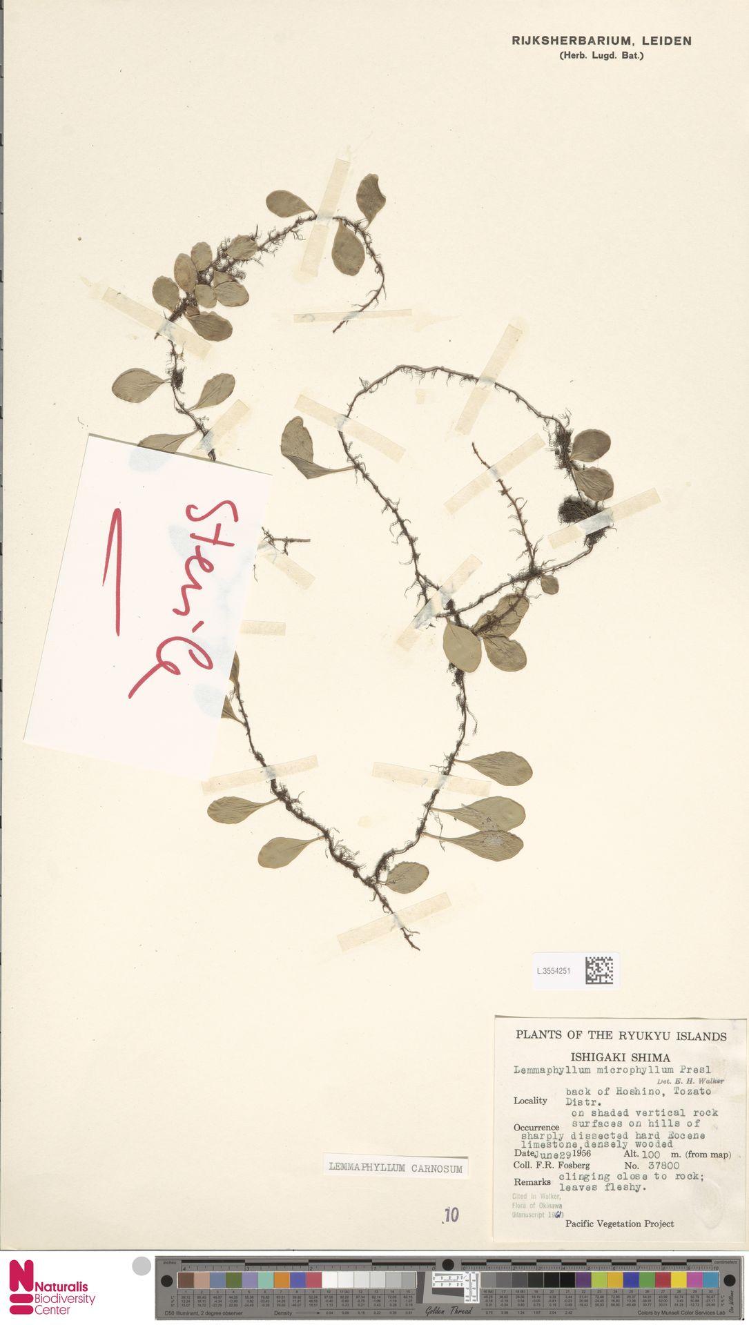 L.3554251 | Lemmaphyllum carnosum C.Presl