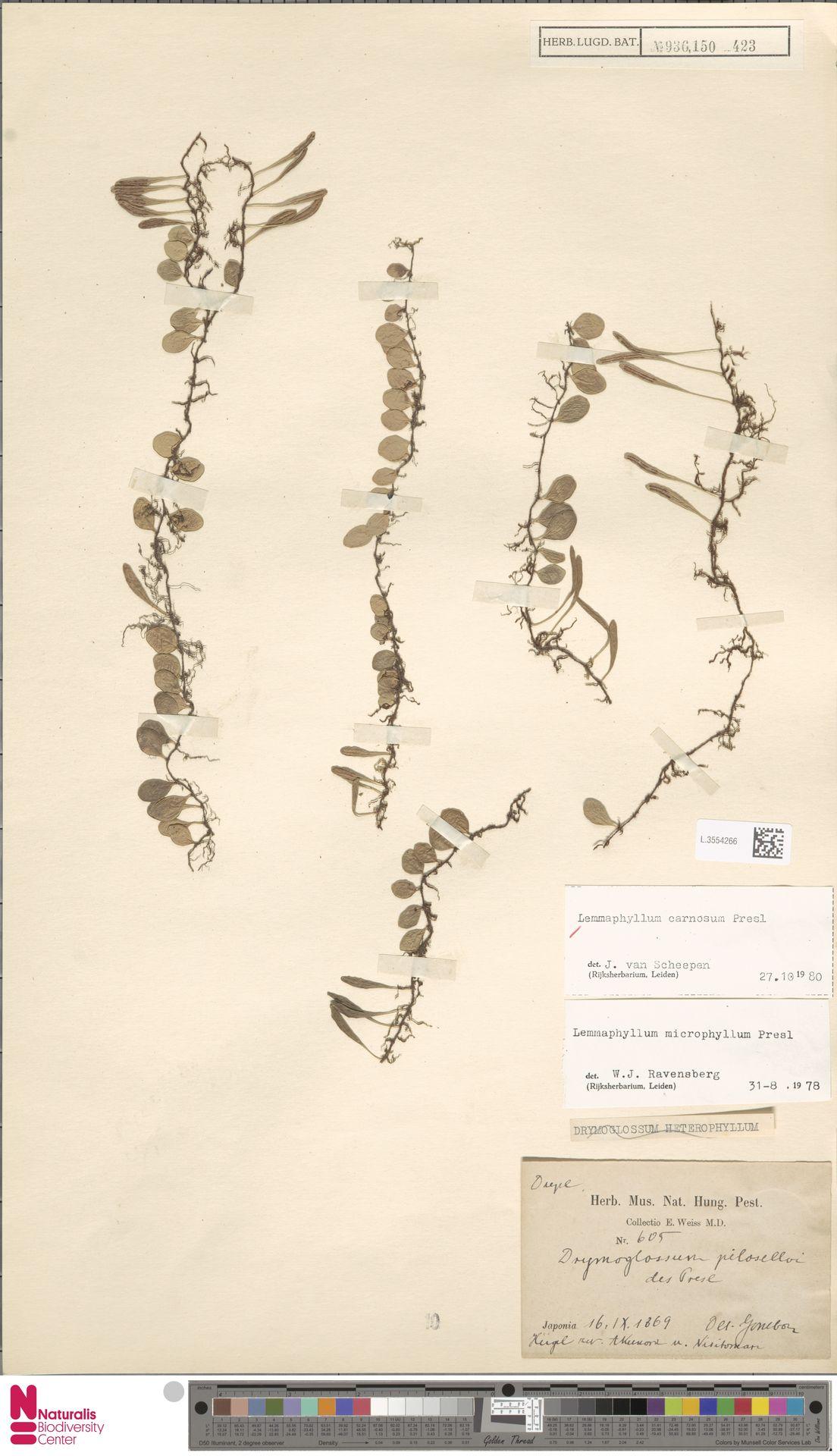 L.3554266 | Lemmaphyllum carnosum C.Presl