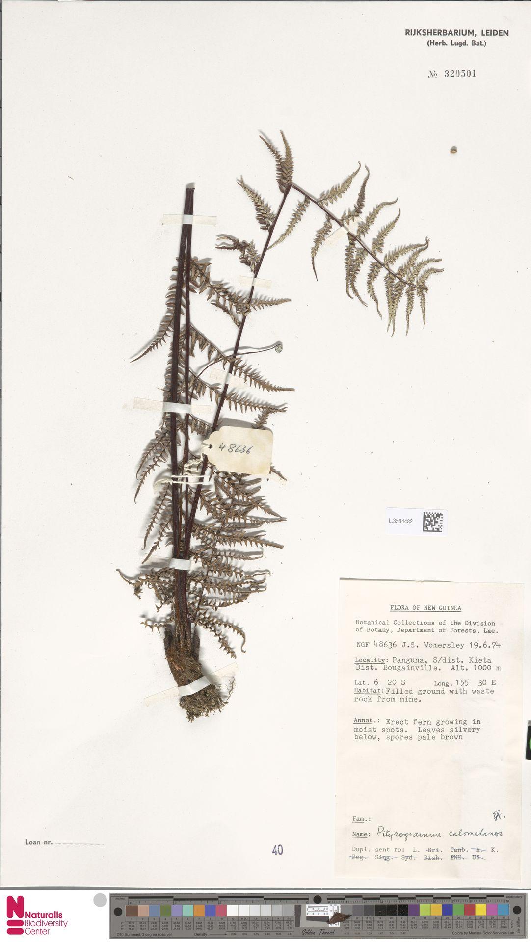 L.3584482 | Pityrogramma calomelanos (L.) Link