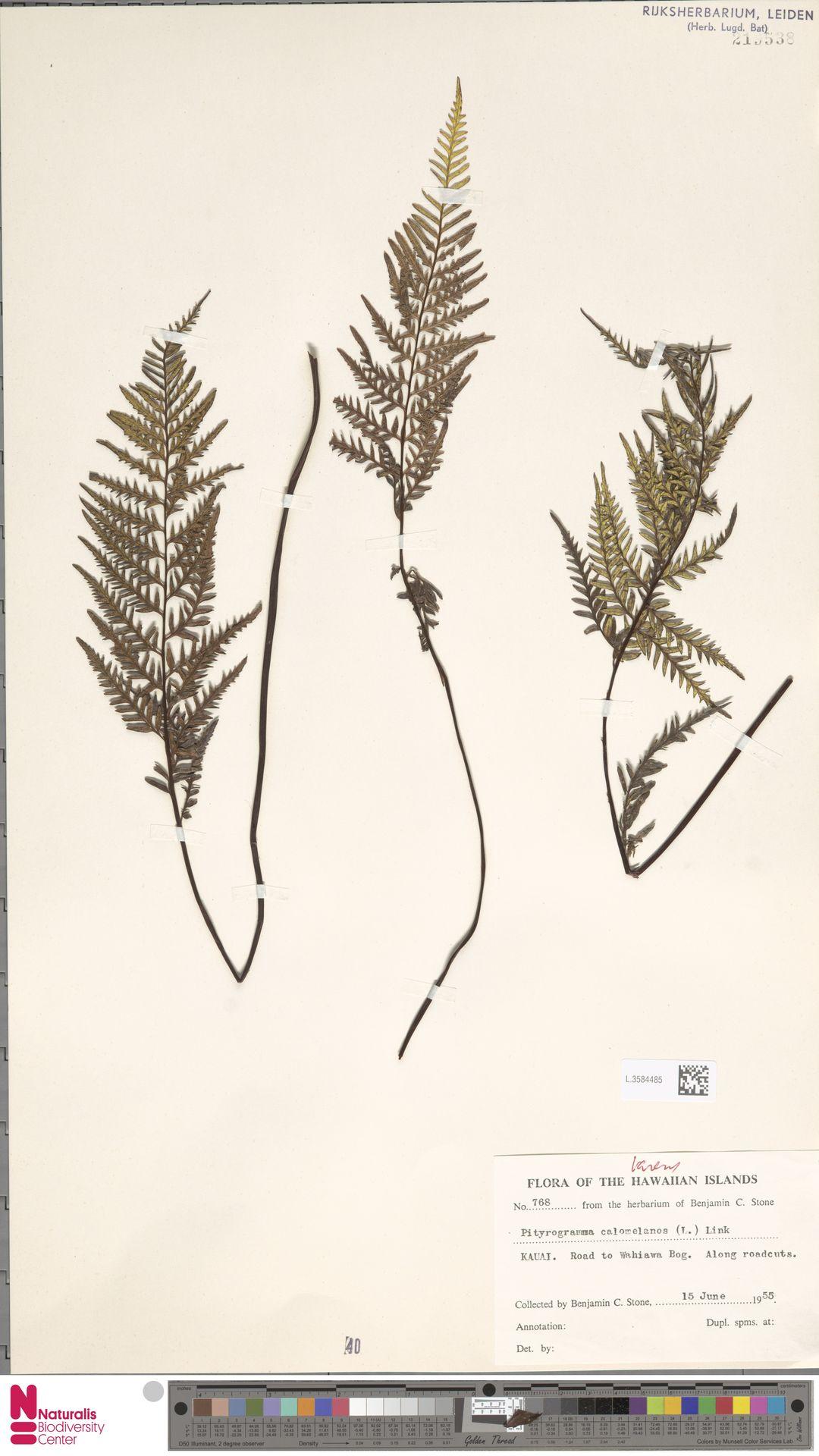 L.3584485 | Pityrogramma calomelanos (L.) Link