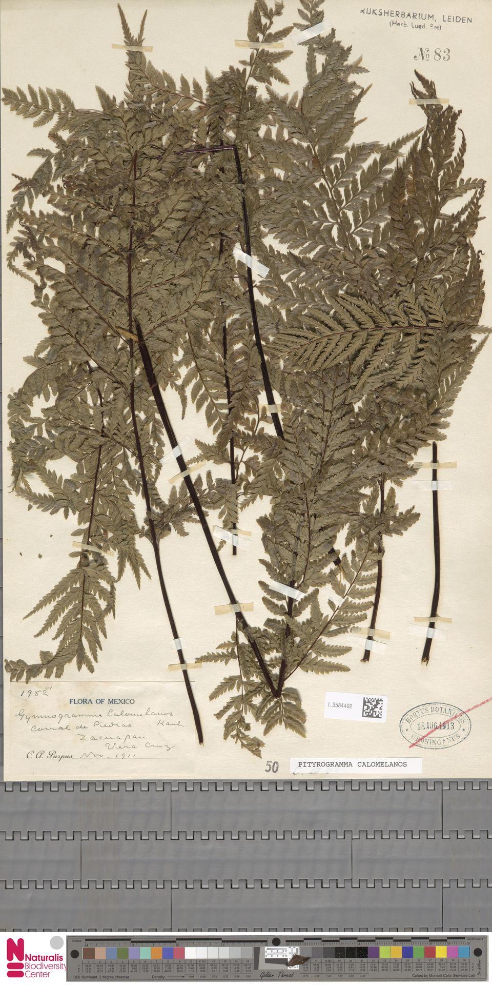 L.3584492 | Pityrogramma calomelanos (L.) Link