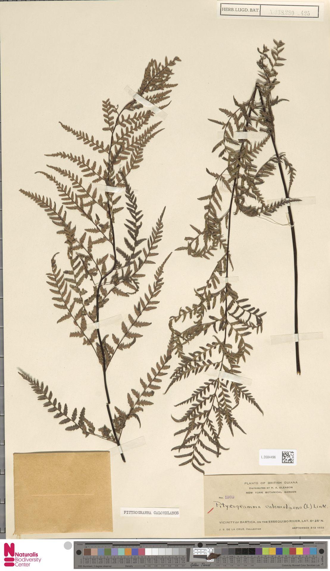 L.3584496 | Pityrogramma calomelanos (L.) Link