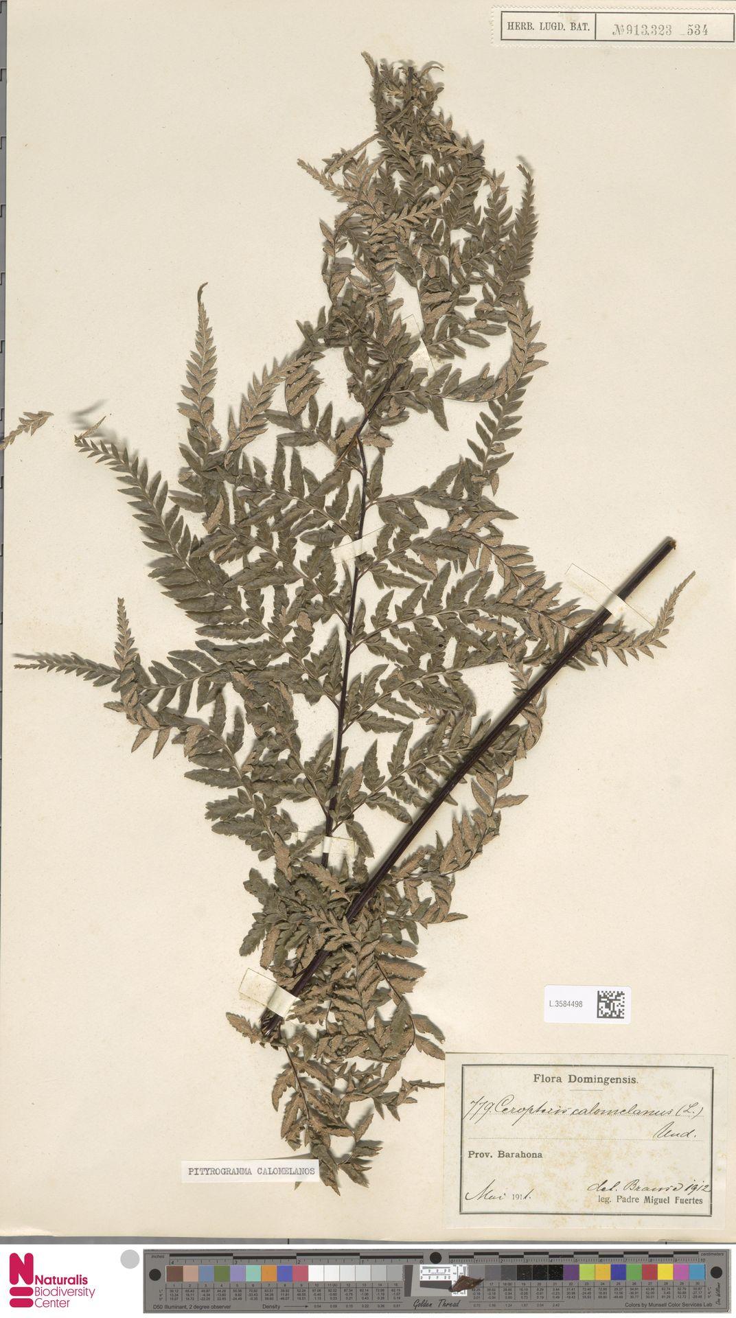 L.3584498 | Pityrogramma calomelanos (L.) Link