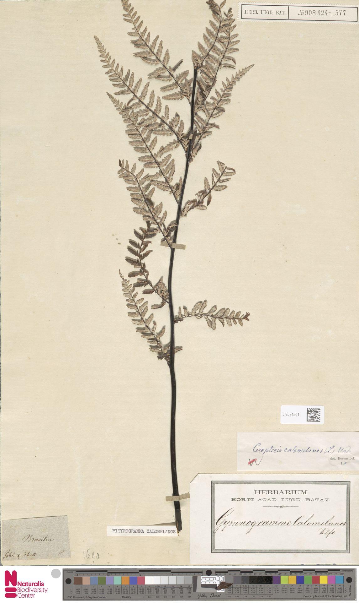 L.3584501 | Pityrogramma calomelanos (L.) Link