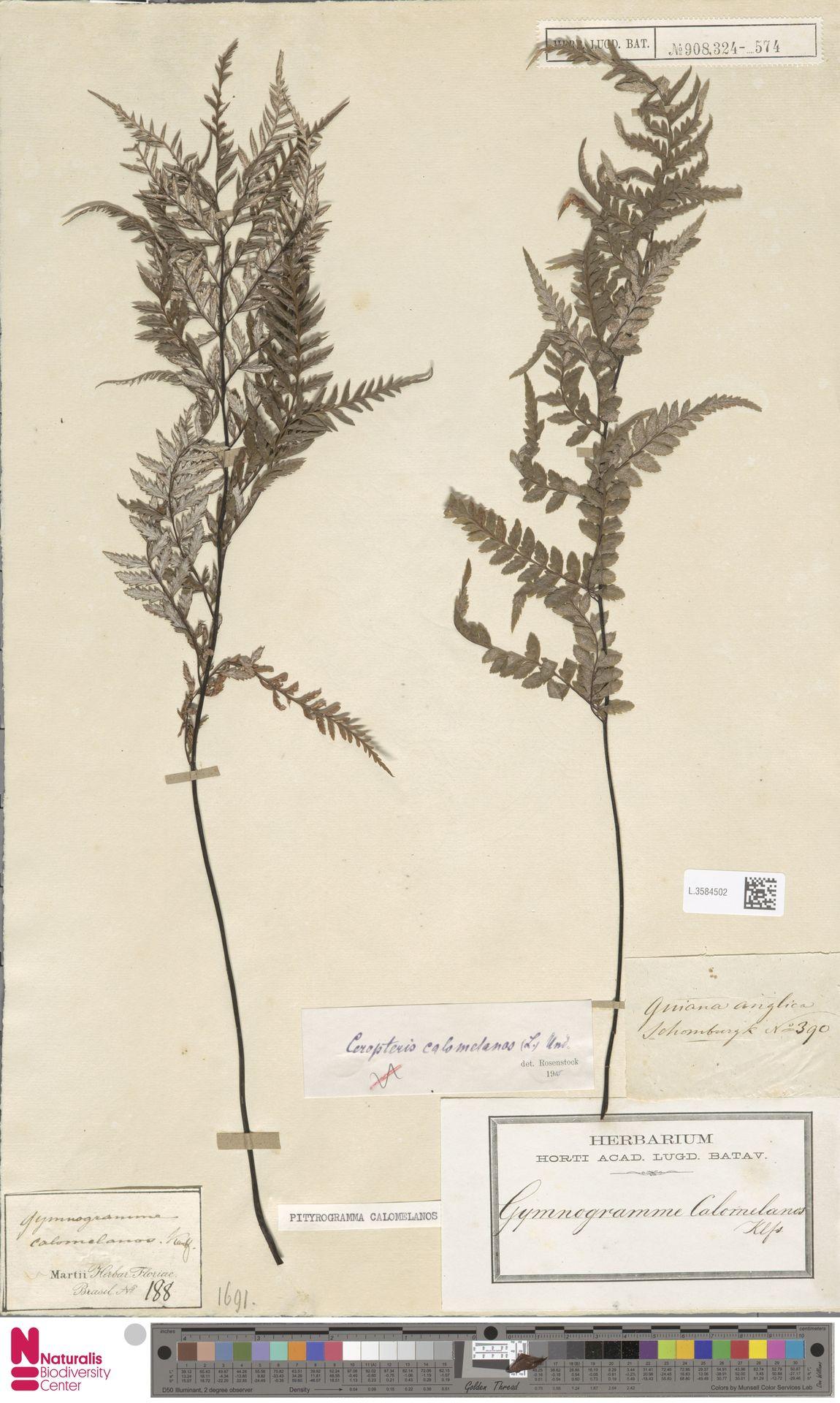 L.3584502 | Pityrogramma calomelanos (L.) Link