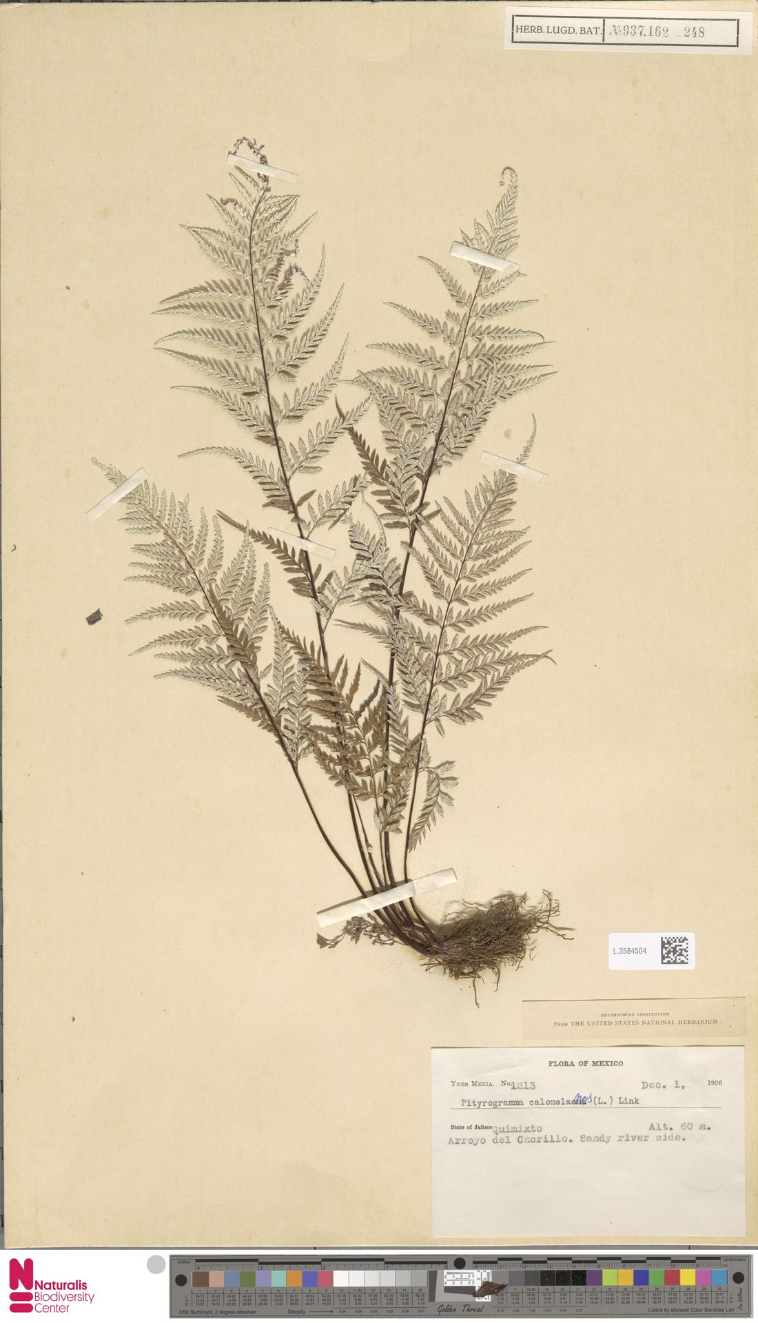 L.3584504 | Pityrogramma calomelanos (L.) Link