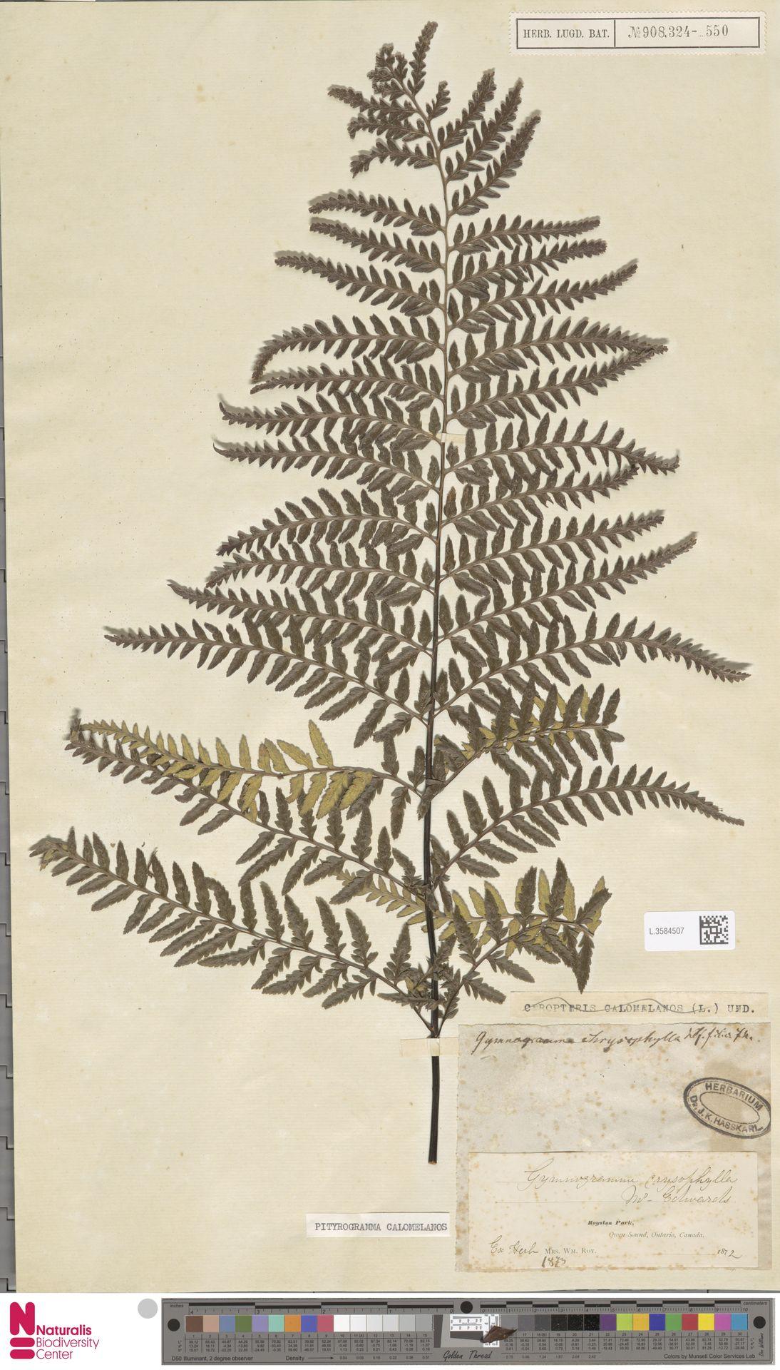 L.3584507 | Pityrogramma calomelanos (L.) Link