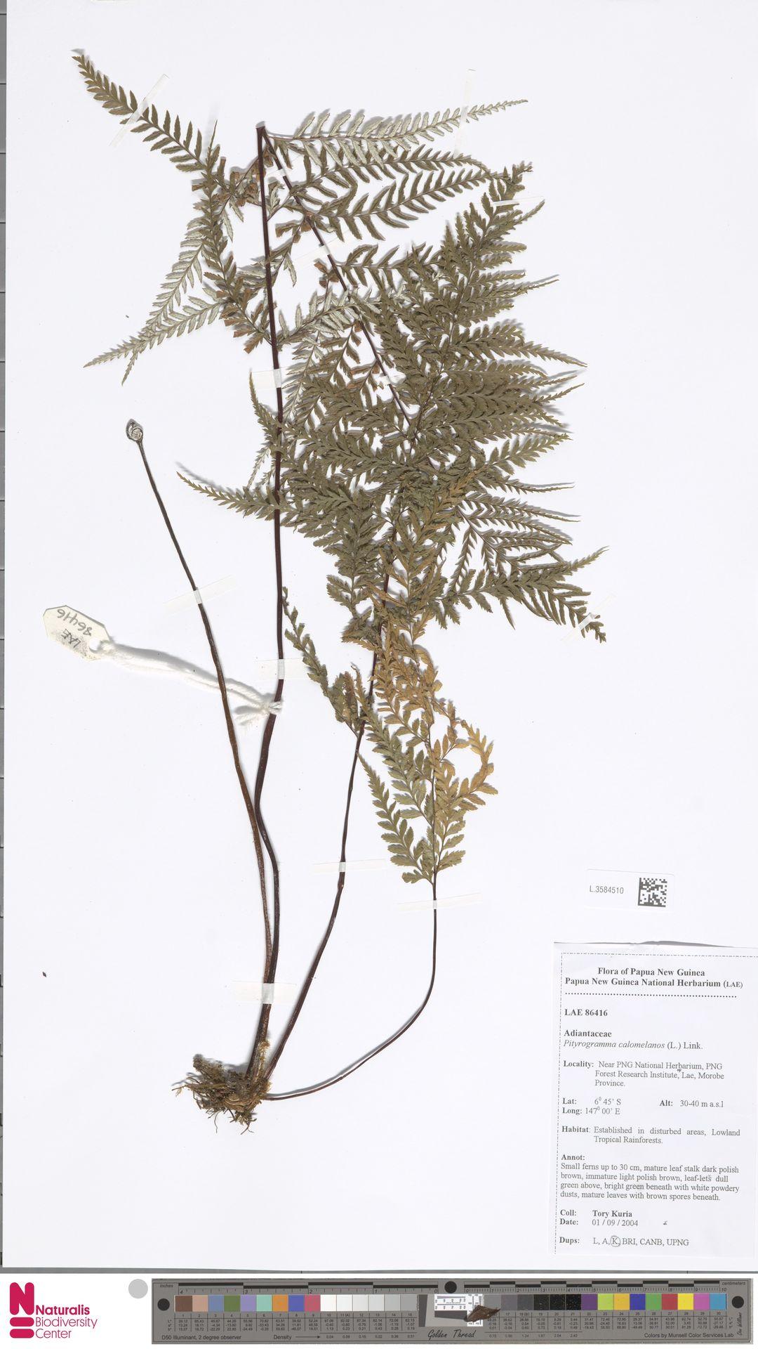 L.3584510 | Pityrogramma calomelanos (L.) Link