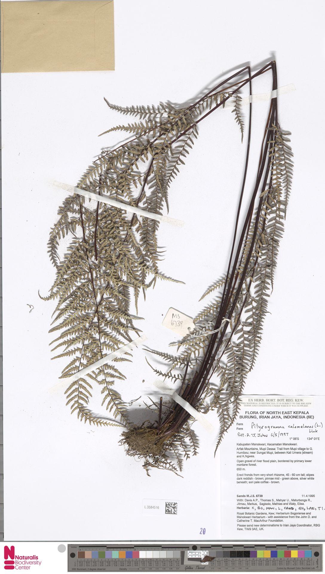 L.3584516 | Pityrogramma calomelanos (L.) Link