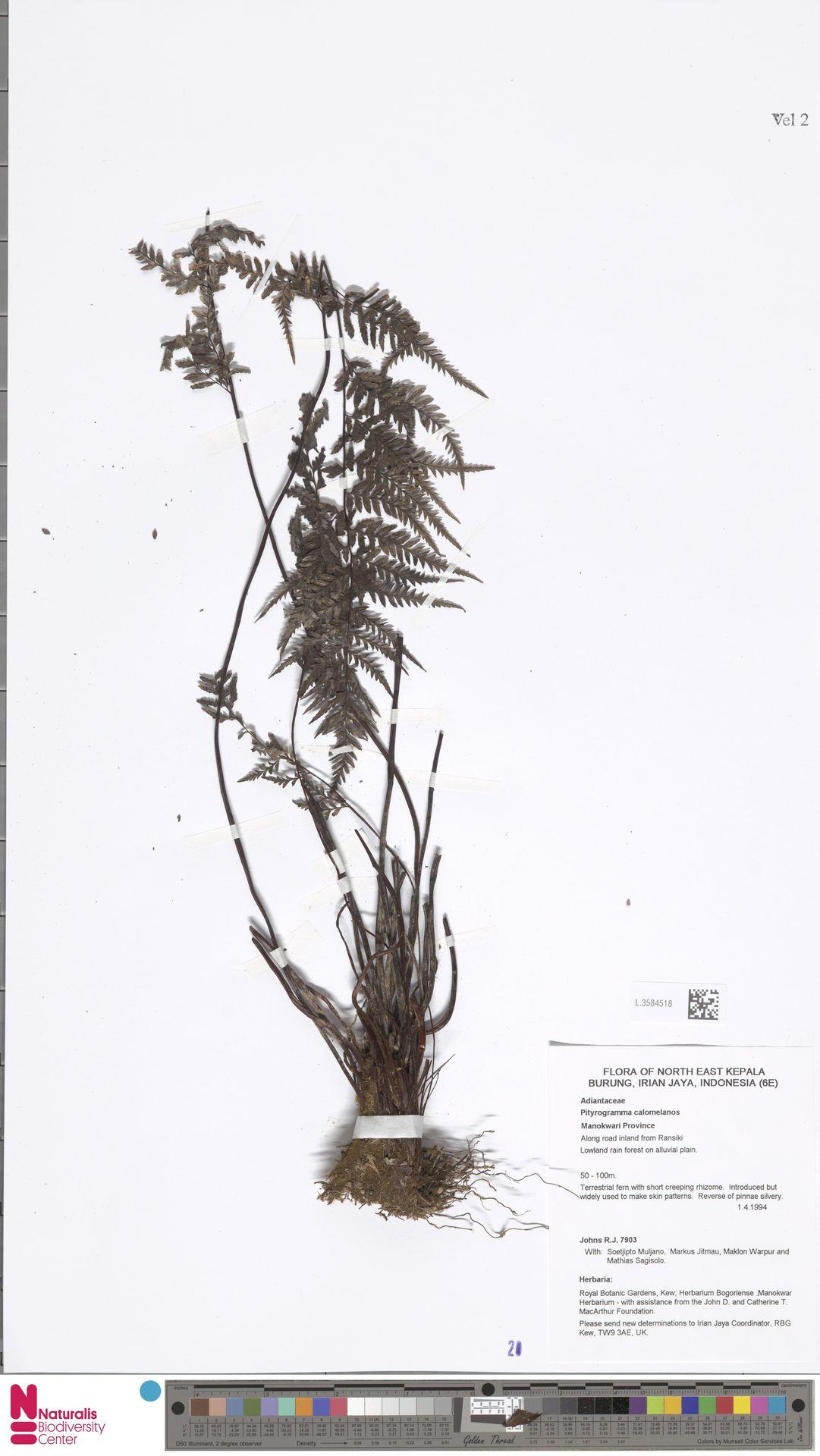 L.3584518 | Pityrogramma calomelanos (L.) Link