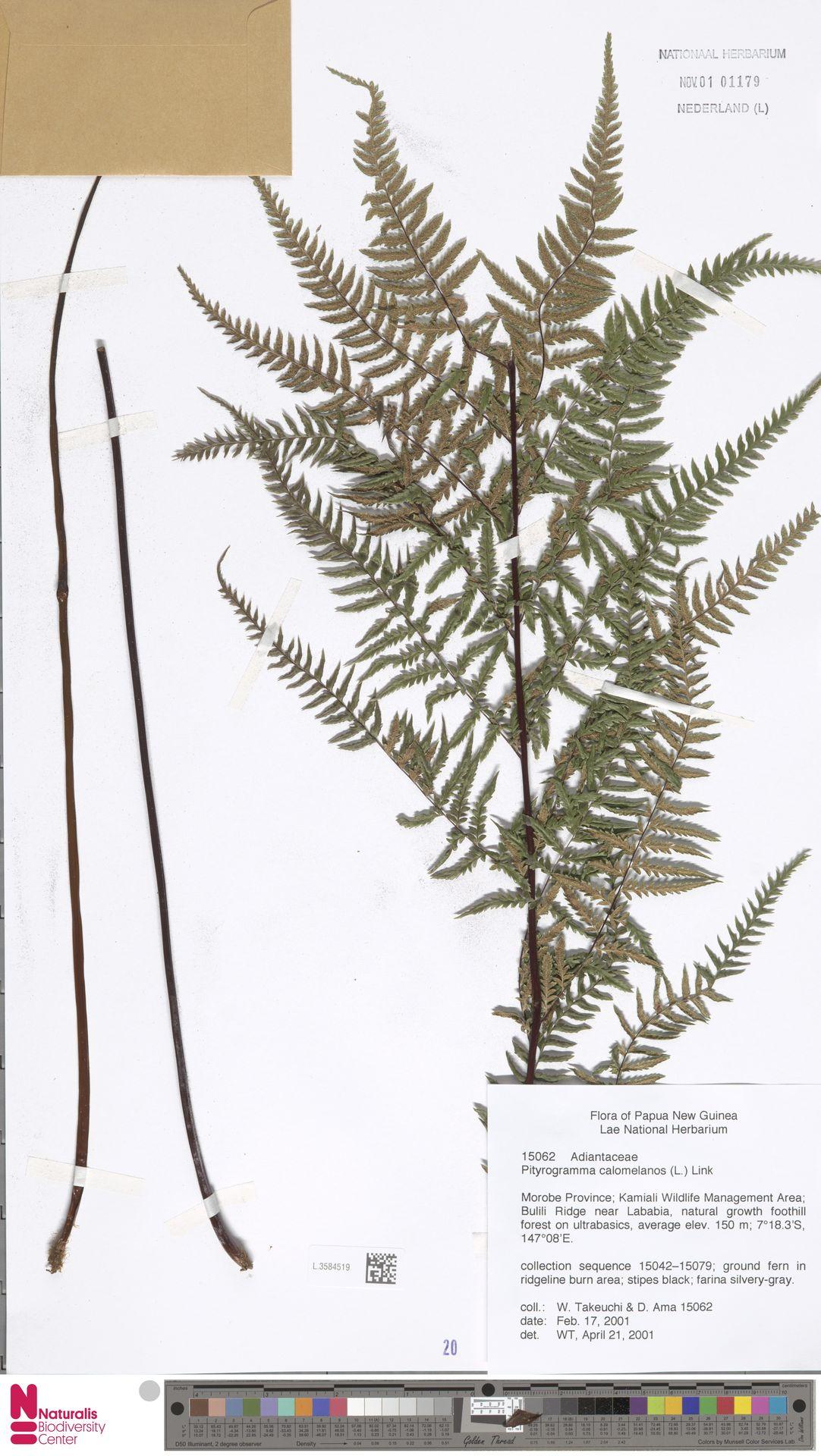 L.3584519 | Pityrogramma calomelanos (L.) Link