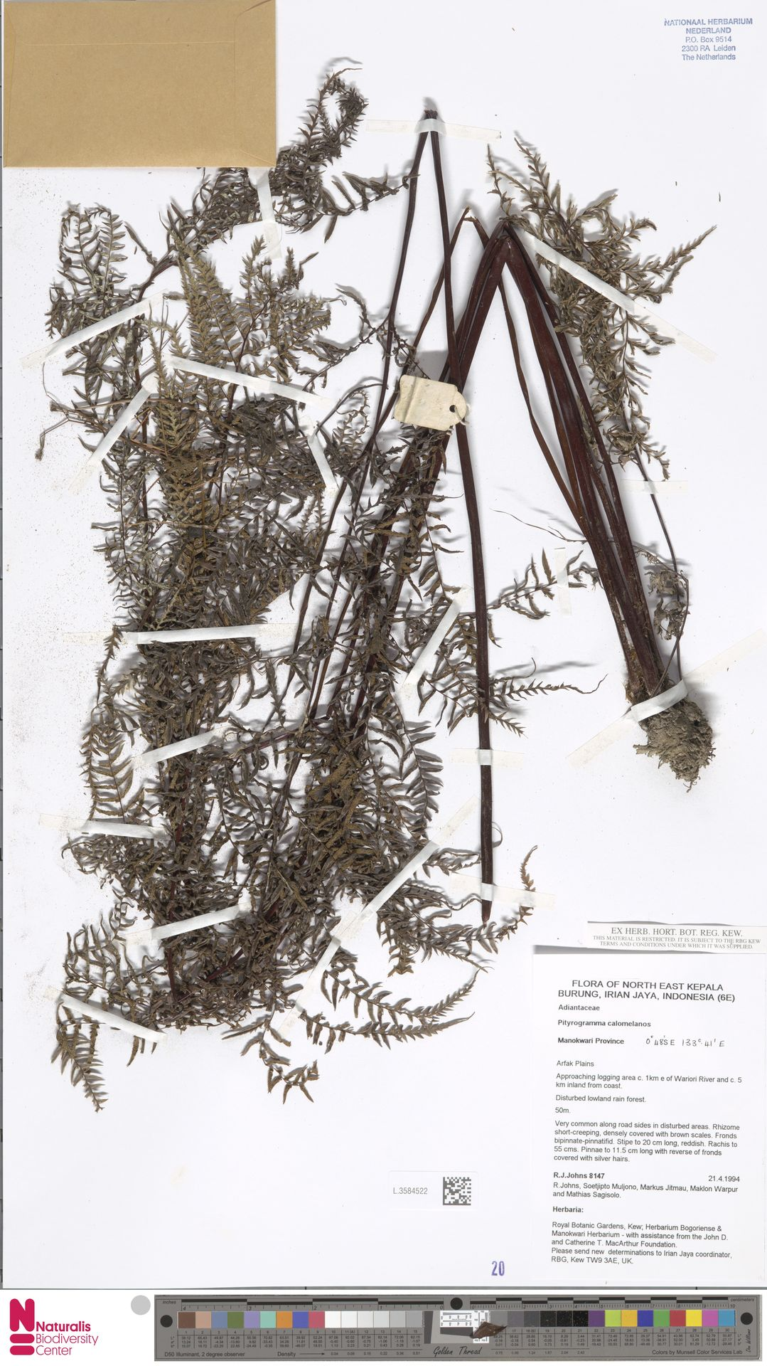 L.3584522 | Pityrogramma calomelanos (L.) Link