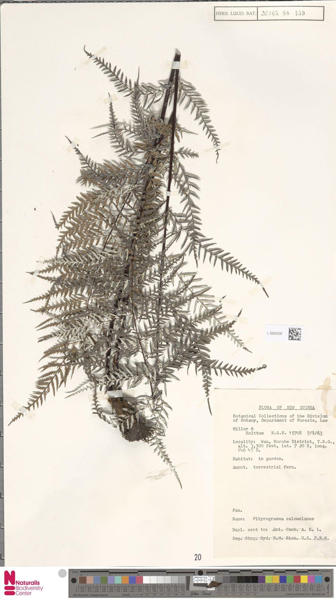 L.3584526 | Pityrogramma calomelanos (L.) Link