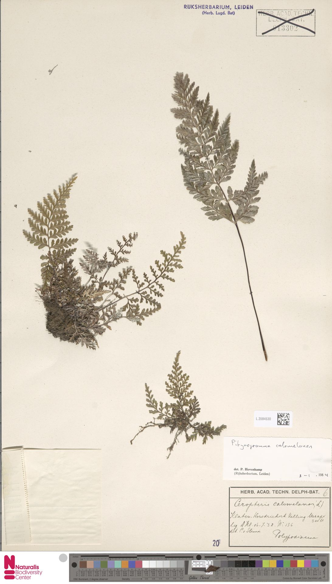 L.3584530 | Pityrogramma calomelanos (L.) Link