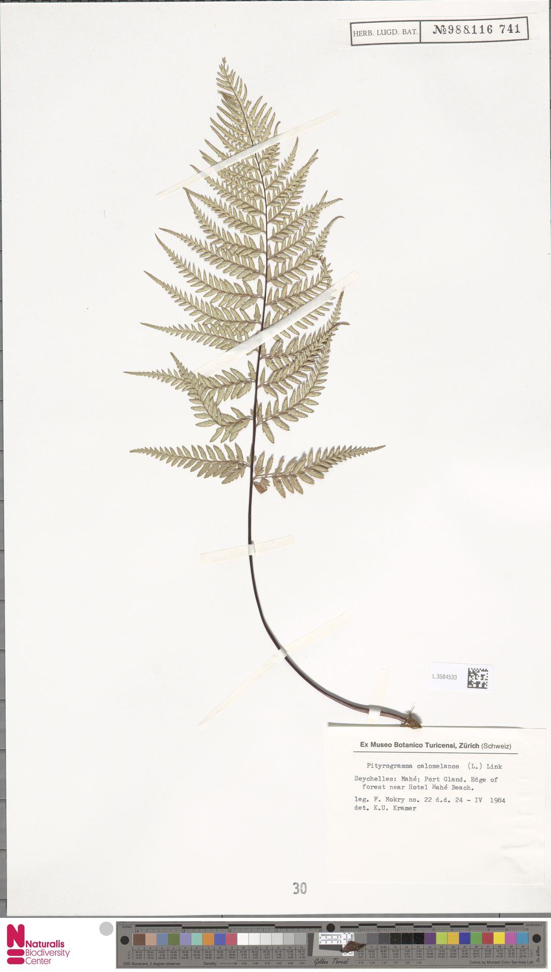L.3584533   Pityrogramma calomelanos (L.) Link