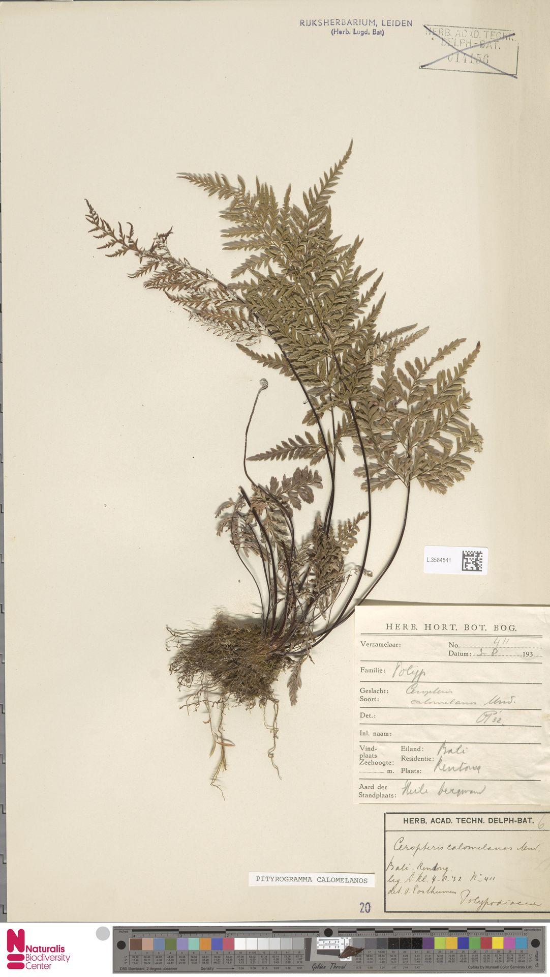 L.3584541   Pityrogramma calomelanos (L.) Link