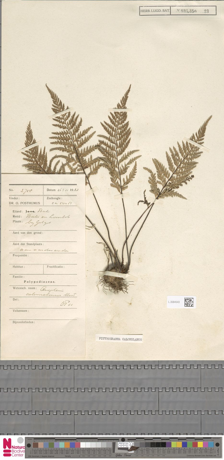 L.3584543 | Pityrogramma calomelanos (L.) Link