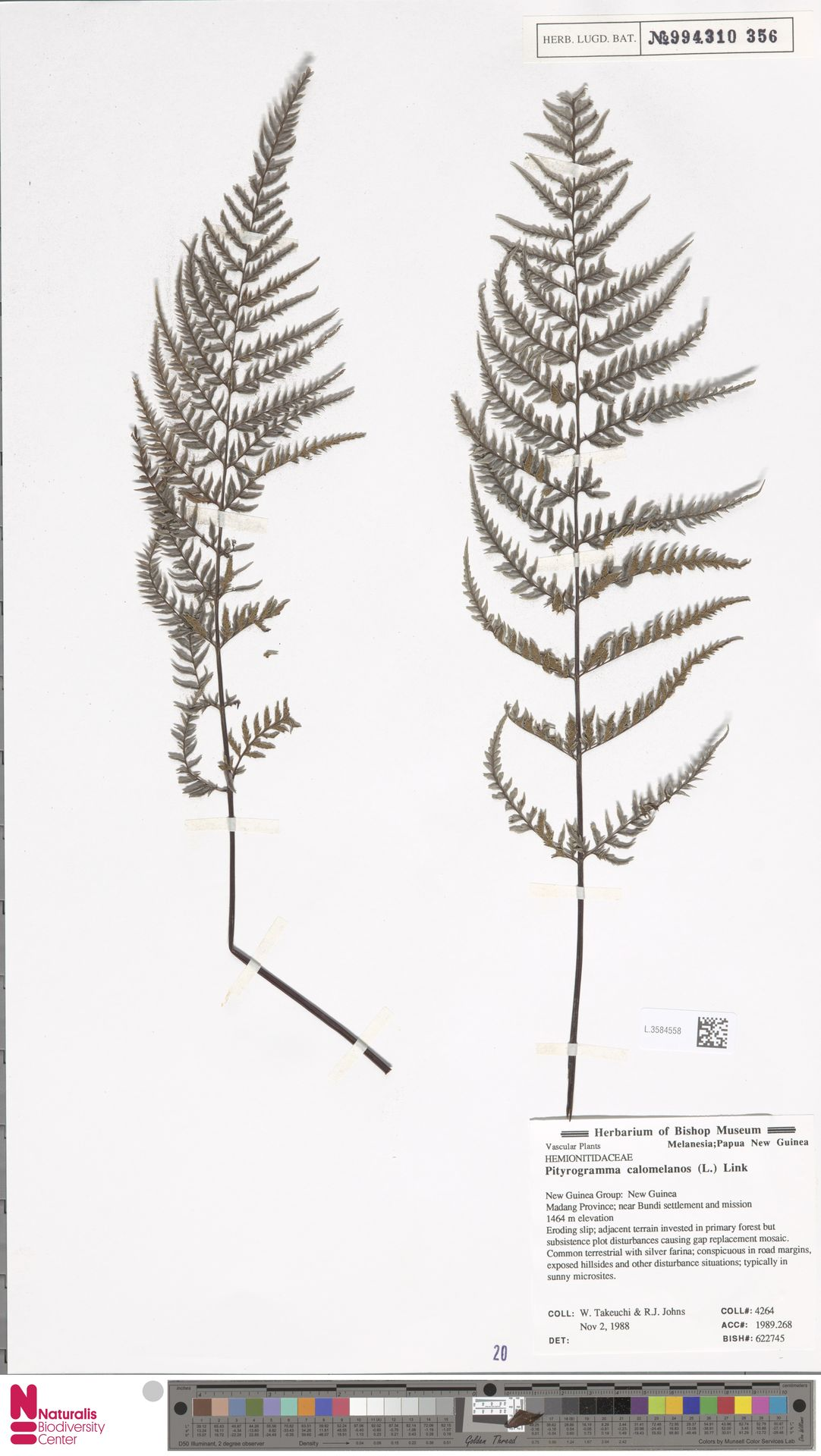 L.3584558 | Pityrogramma calomelanos (L.) Link